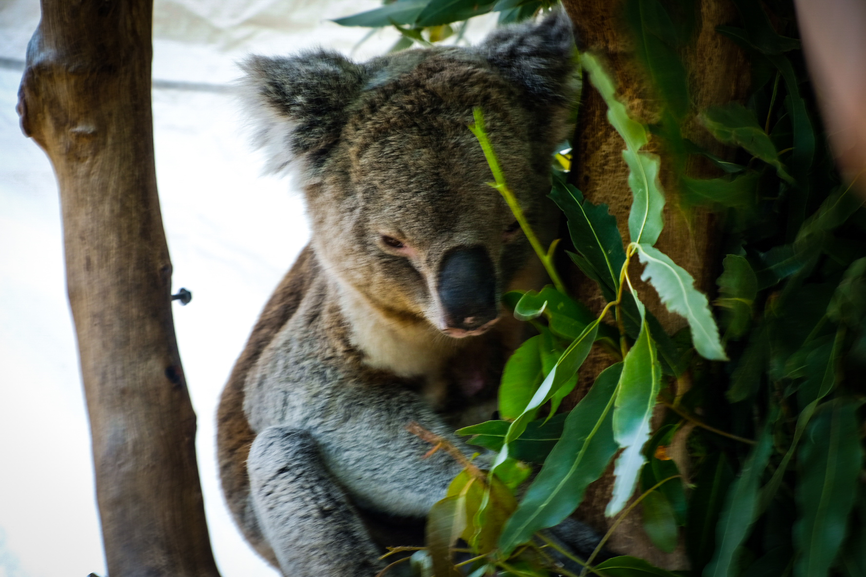 Gum Nut the koala