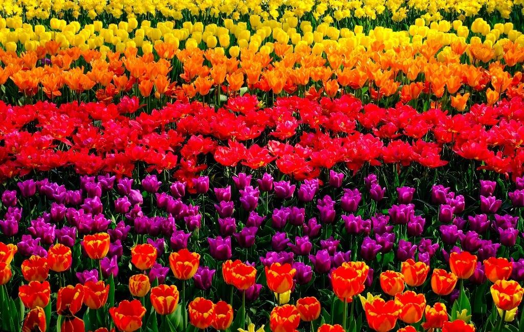 Tulip field at Keukenhof, Holland