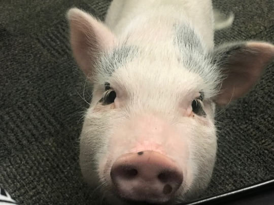 Meet the Staff Jorge the Therapy Pig.jpeg