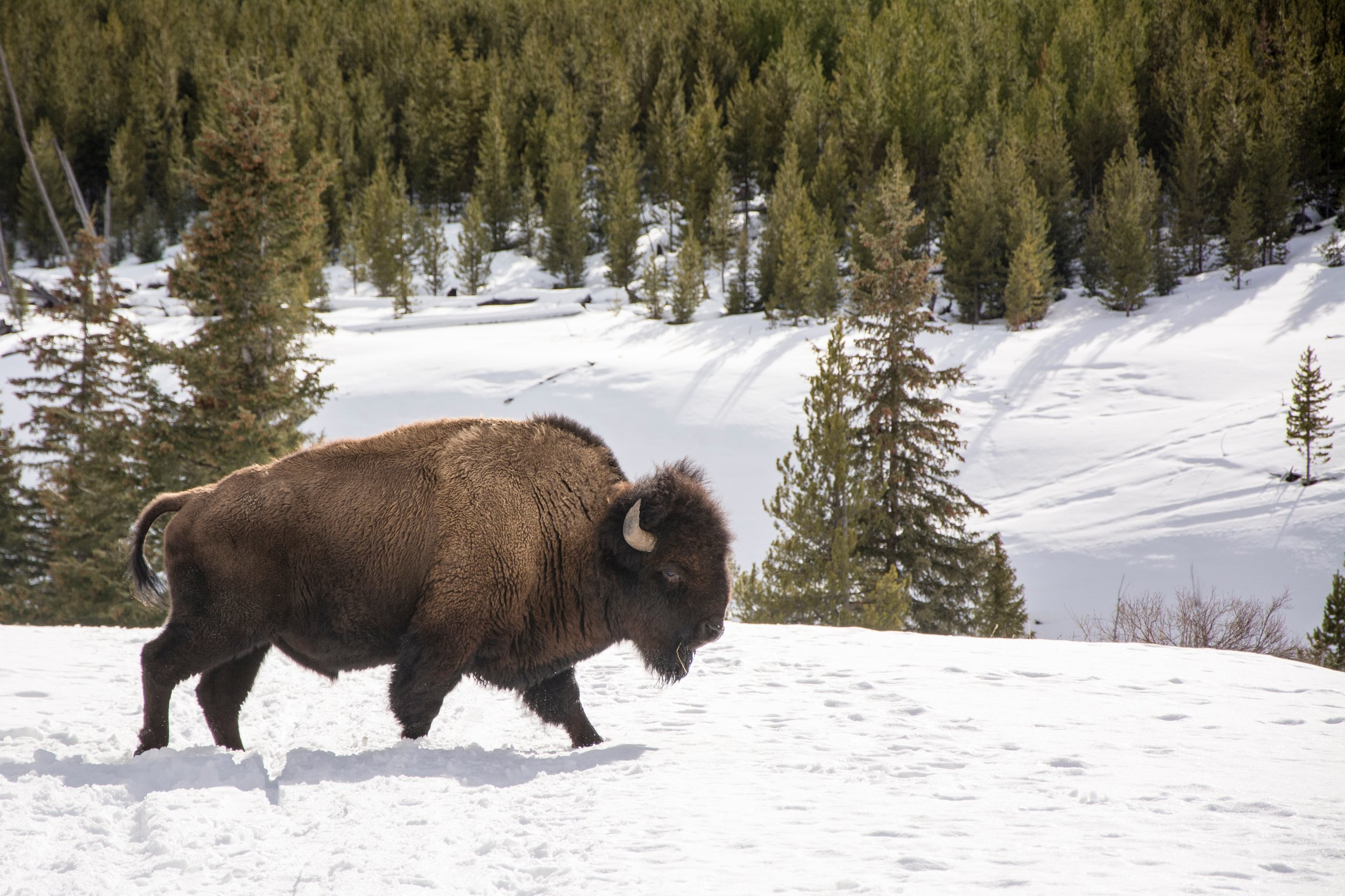 Mammals - Bison tours led by a wildlife biologist