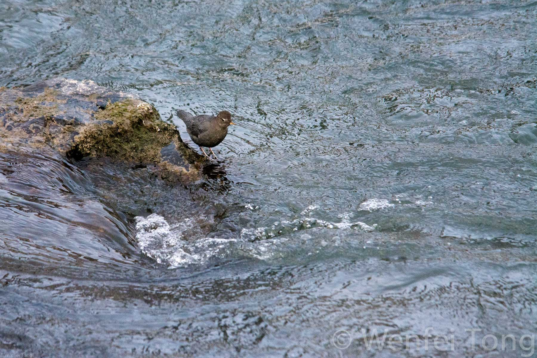 American dippers live year-round in Missoula's parks