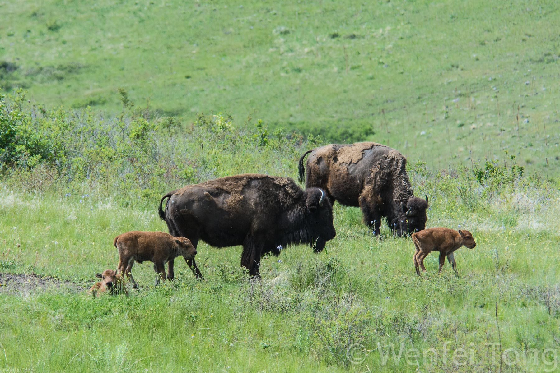 Bison cows with young calves