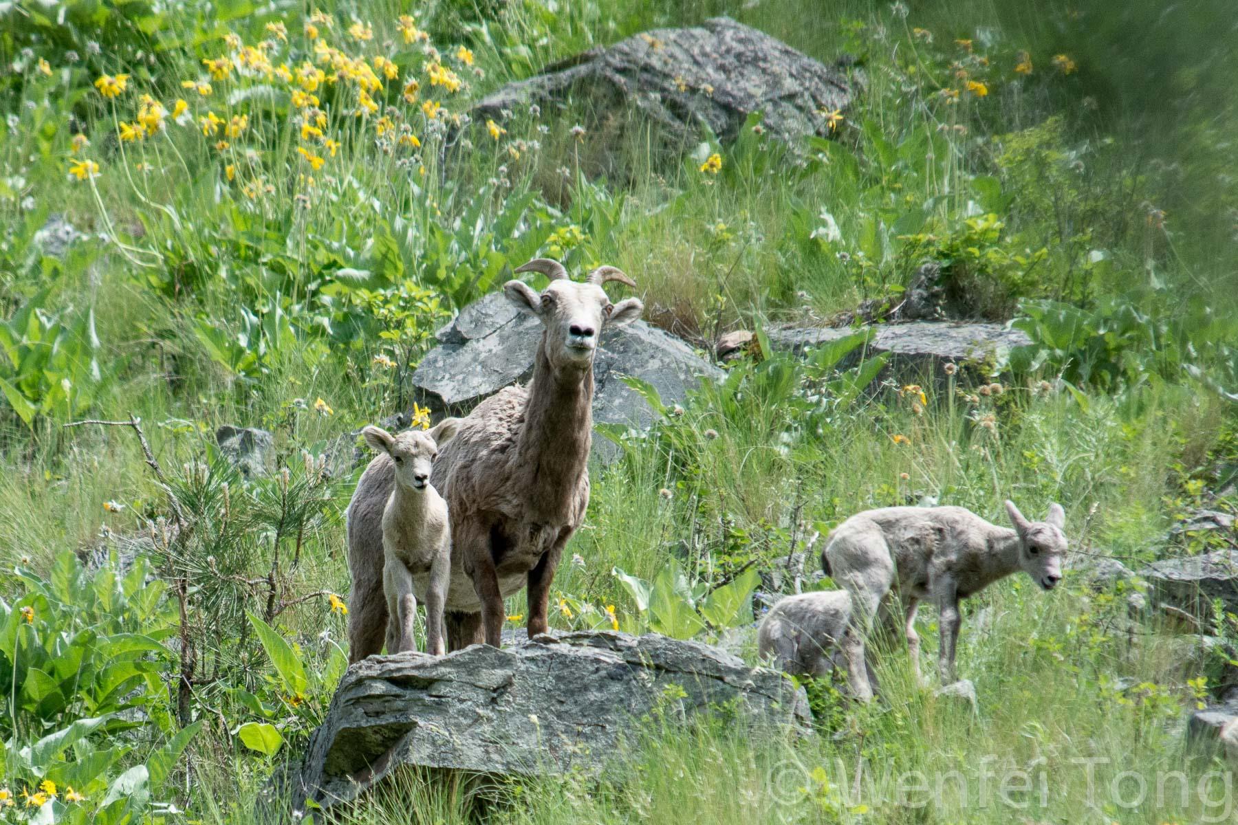 Bighorn sheep ewes and lambs