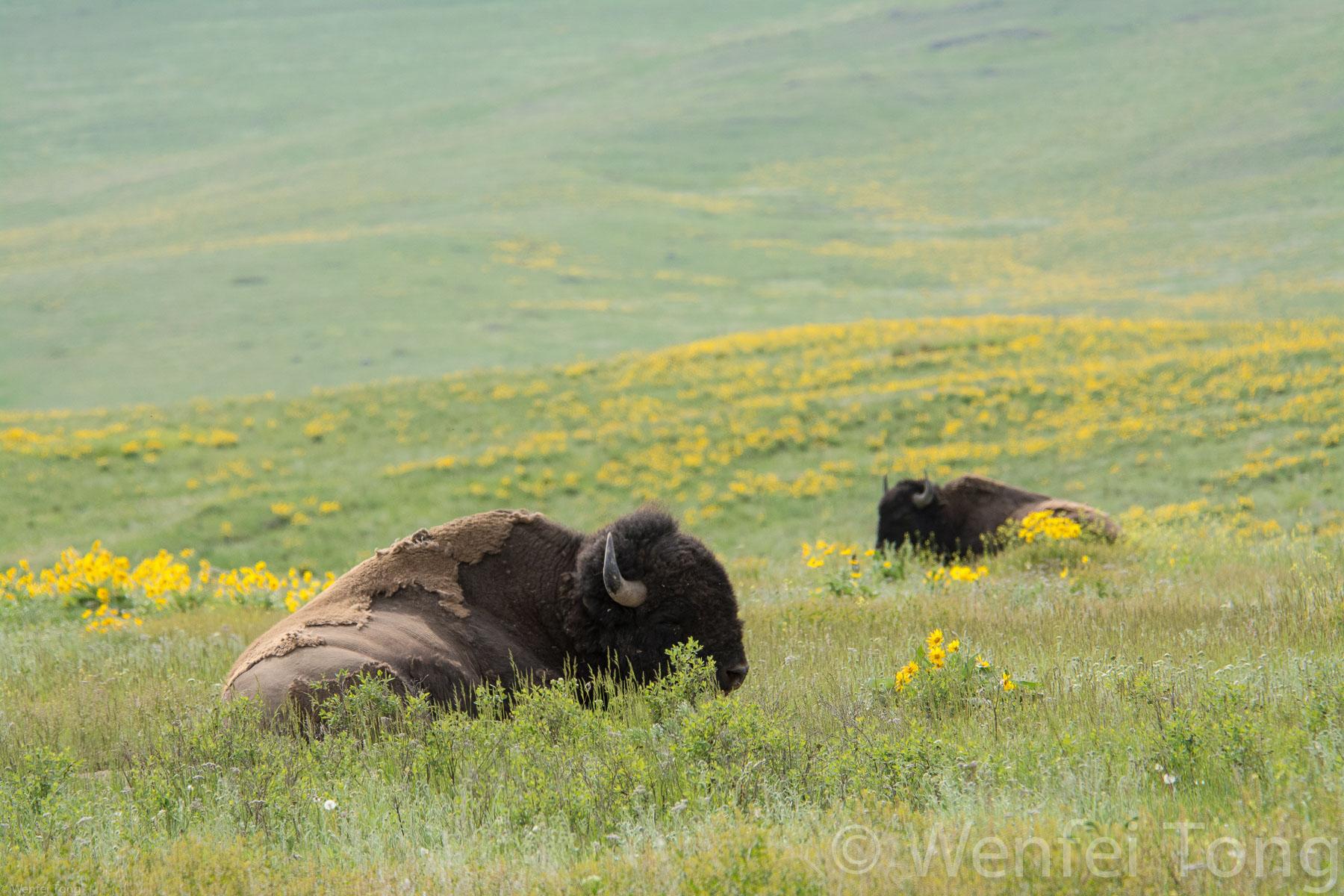 Sleepy bison bulls lying in a bed of arrowleaf balsamroot