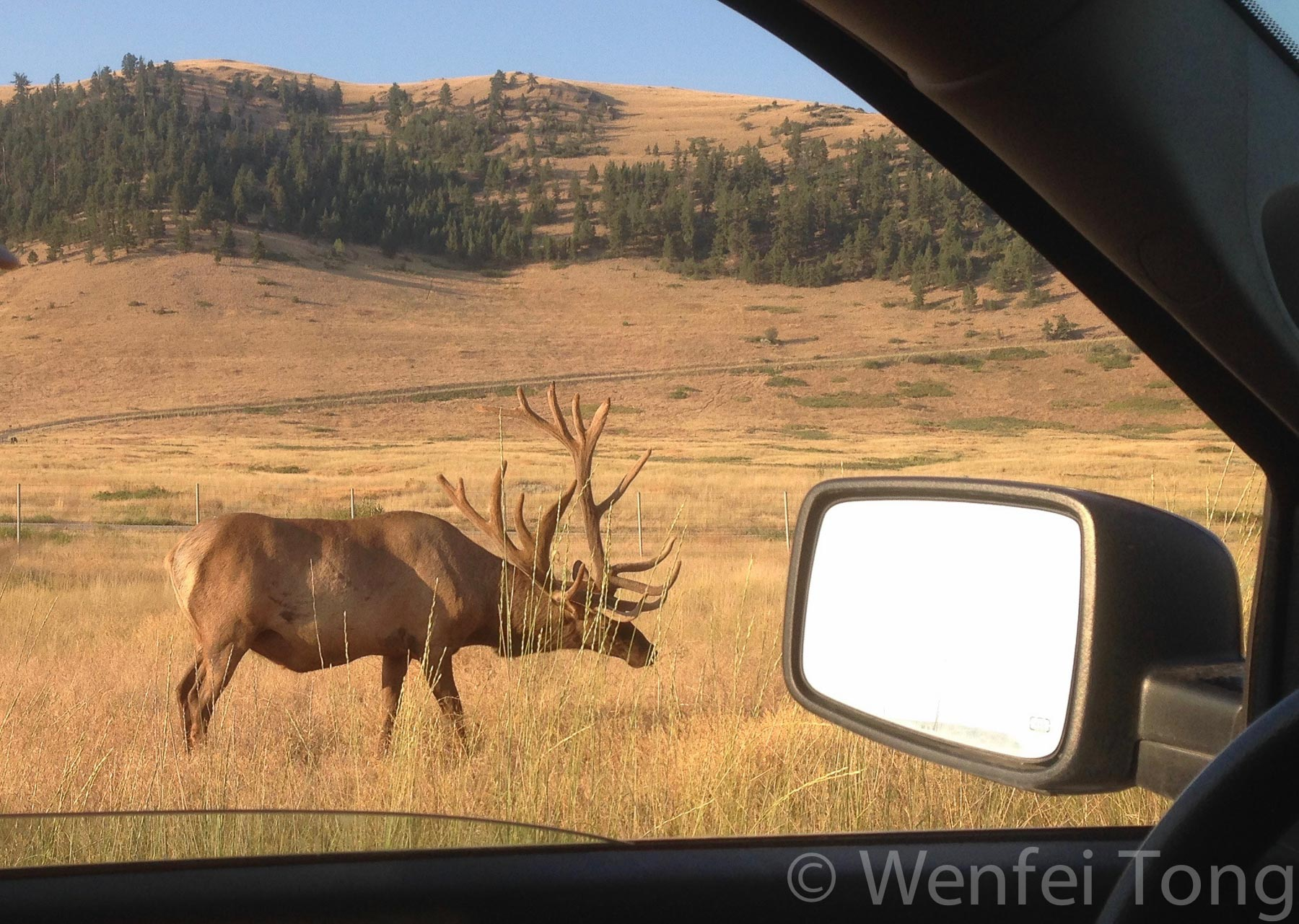 Male elk by the tour road