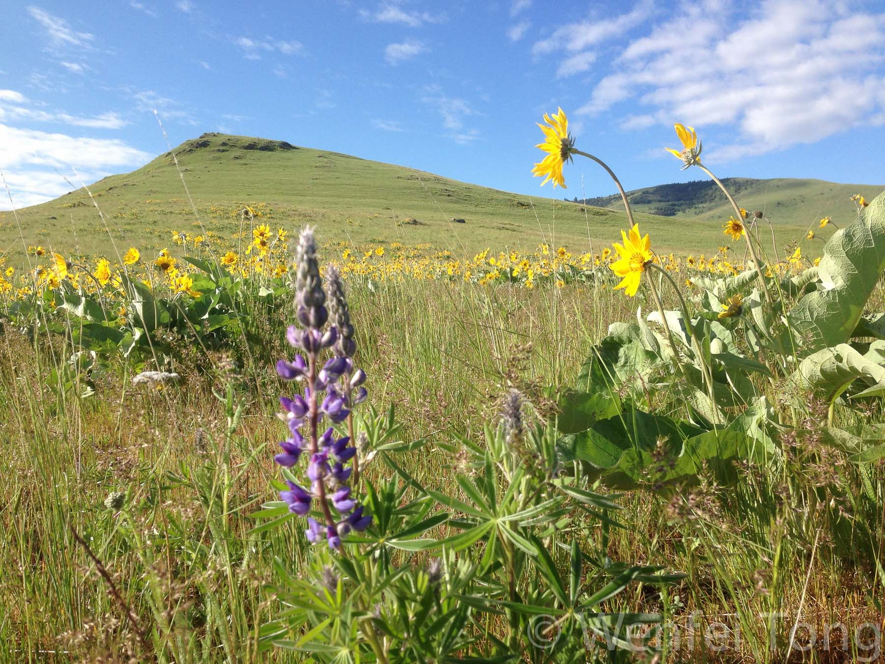 Lupines and arrowleaf balsamroot