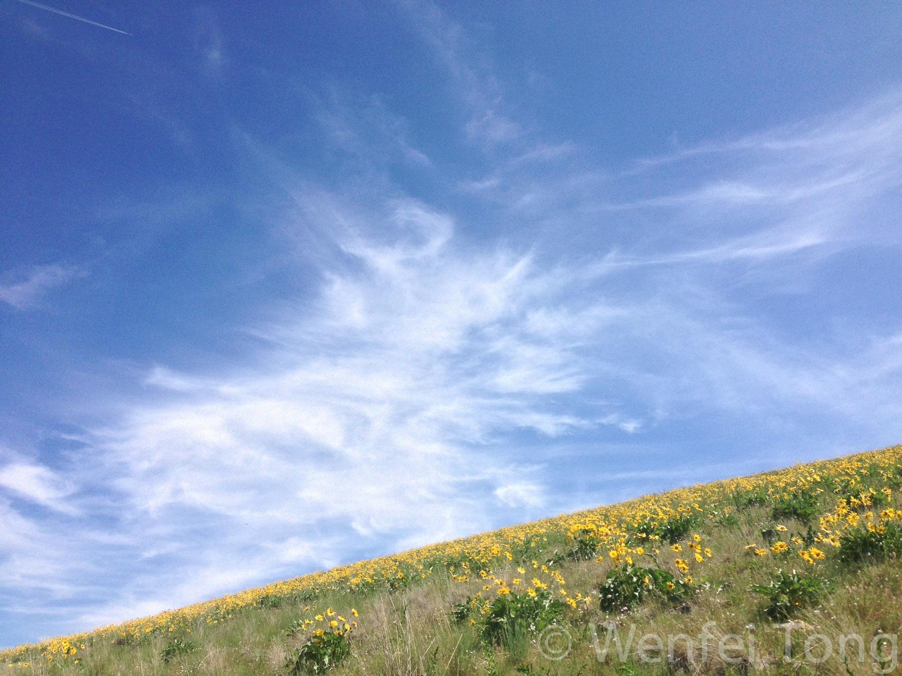 Arrowleaf balsamroot in bloom