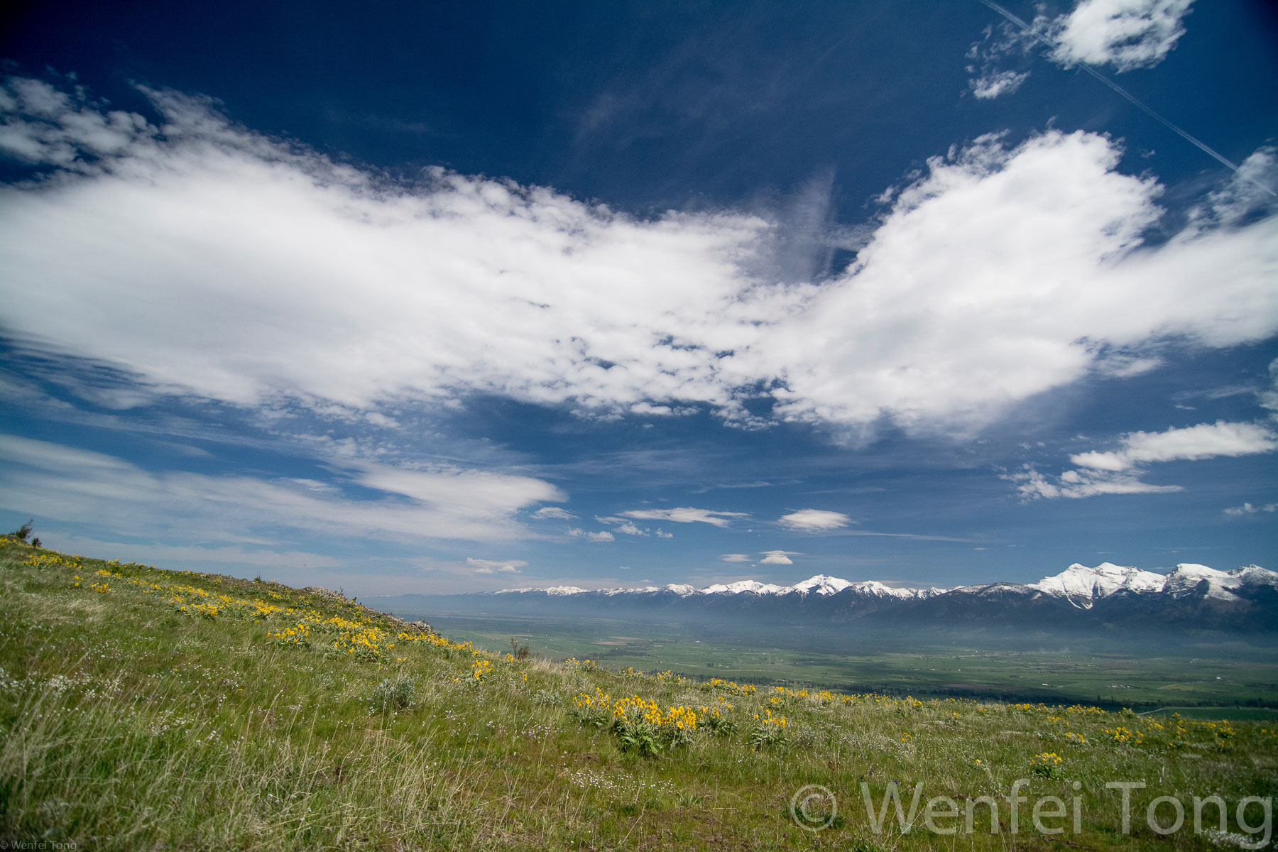 Arrowleaf balsamroot in bloom with the Mission mountains in the distance