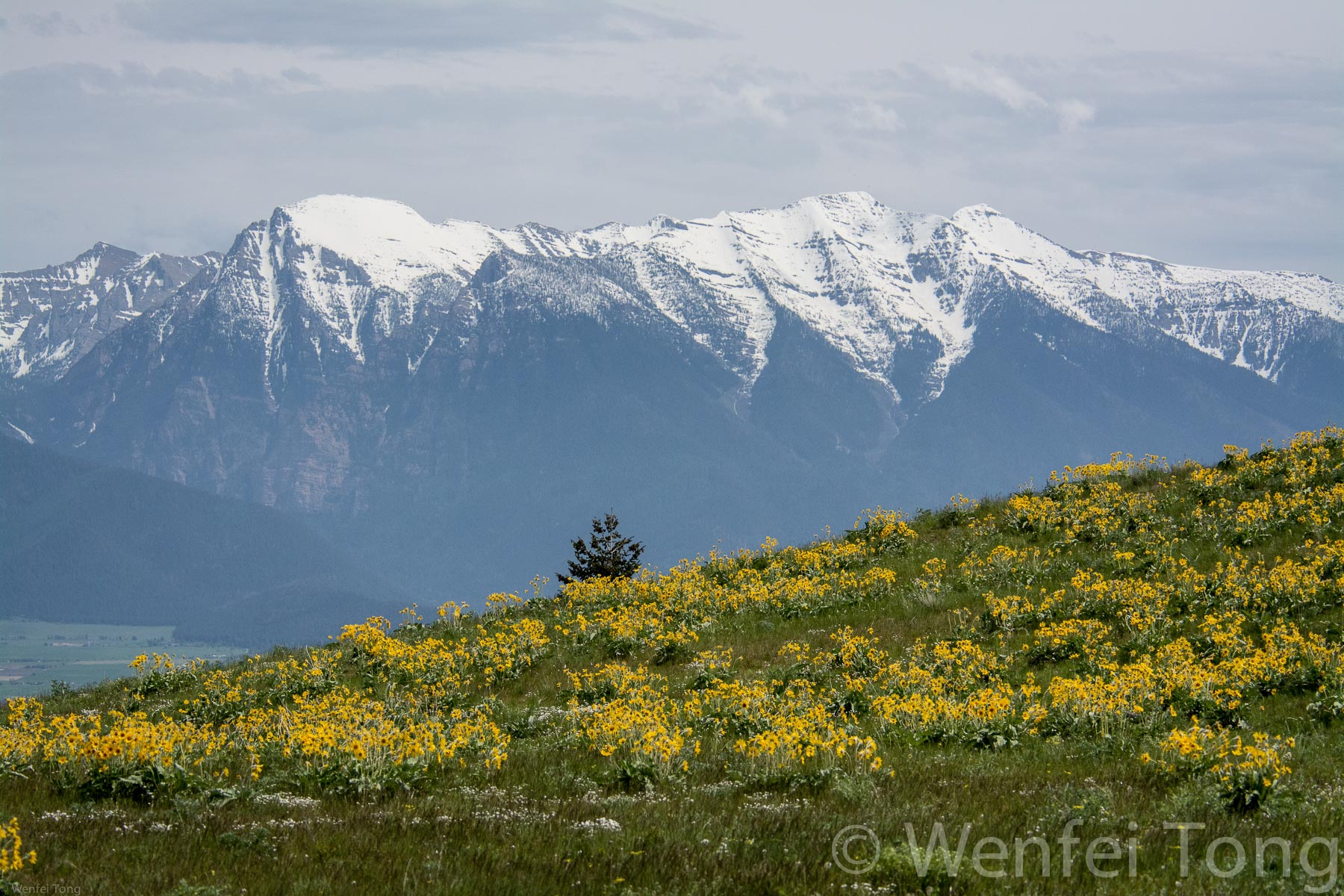 View of the Mission mountains with arrowleaf balsamroot blooming in the foreground