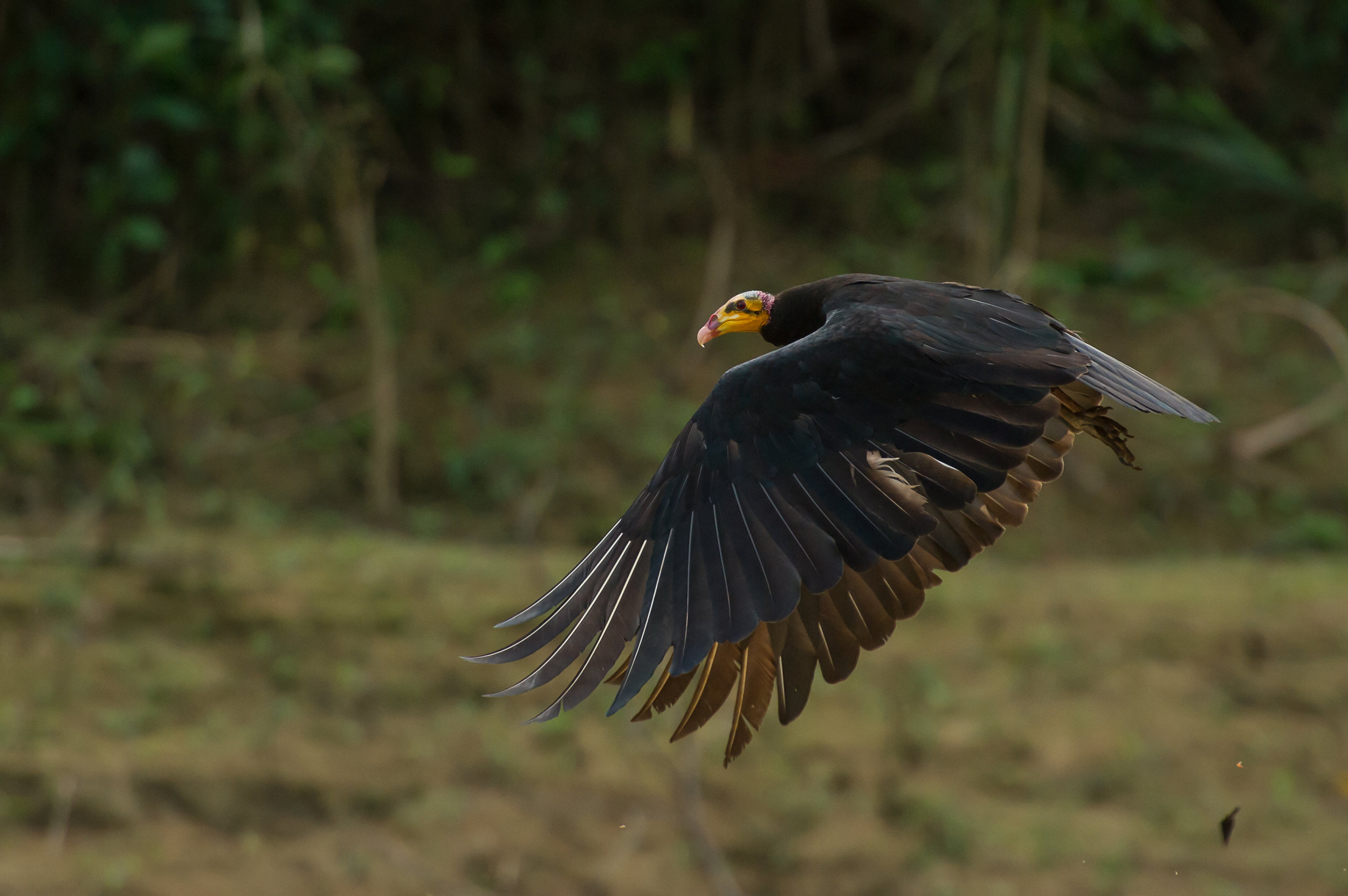 Cathartes burrovianus  (Lesser Yellow-headed Vulture)