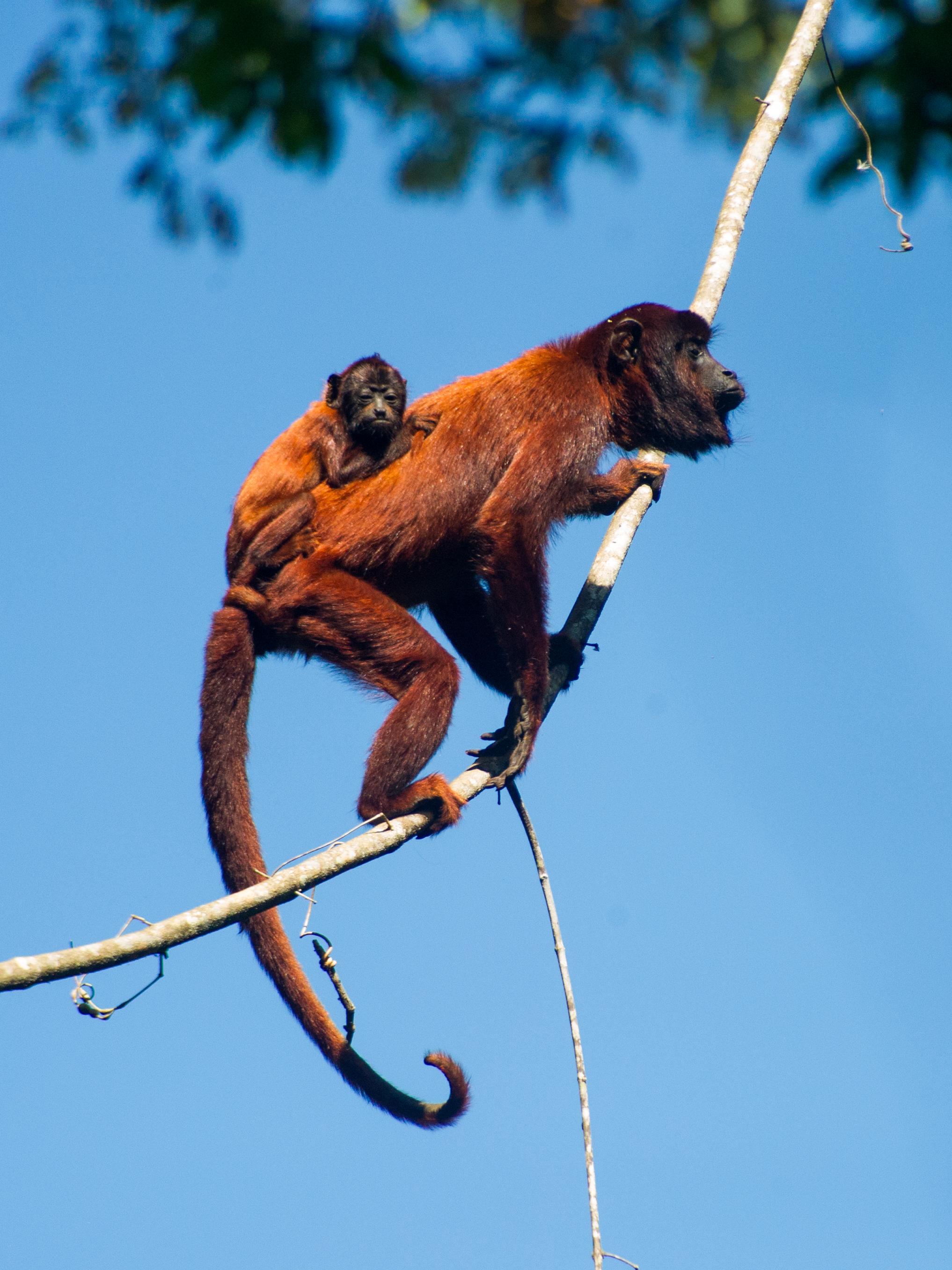 Alouatta seniculus (Red-Howler Monkey)