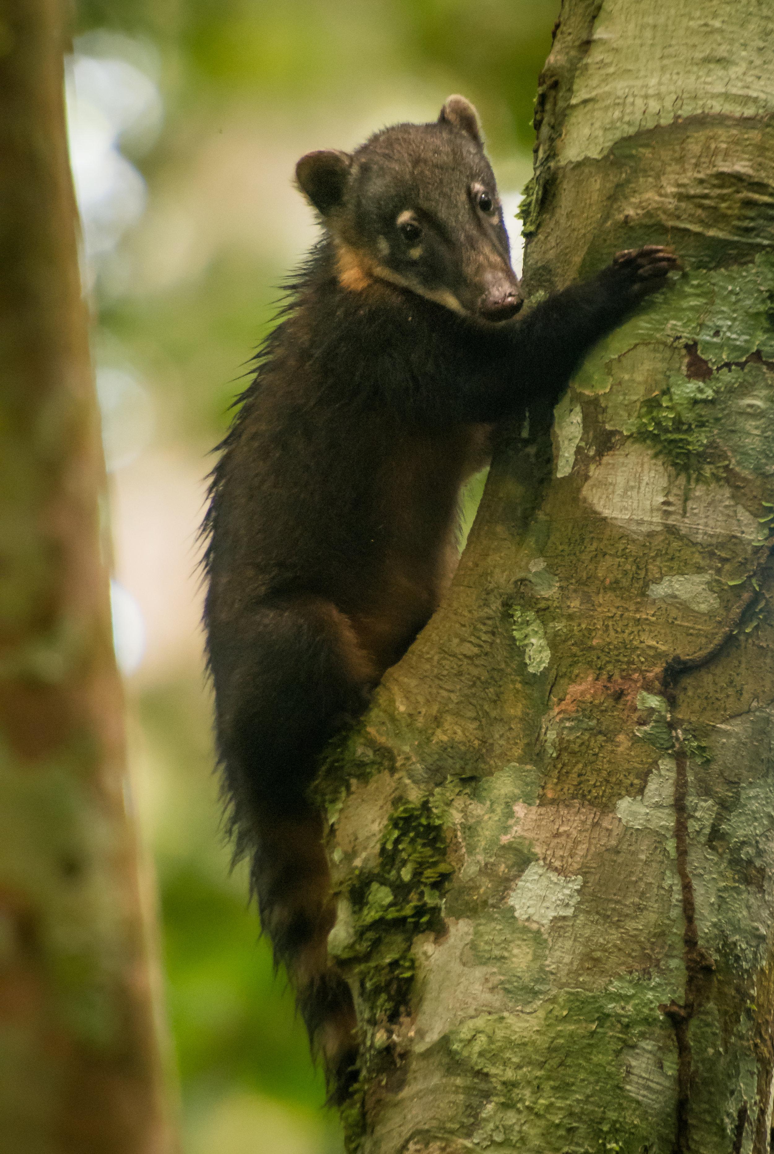 Nasua nasua (Coati)