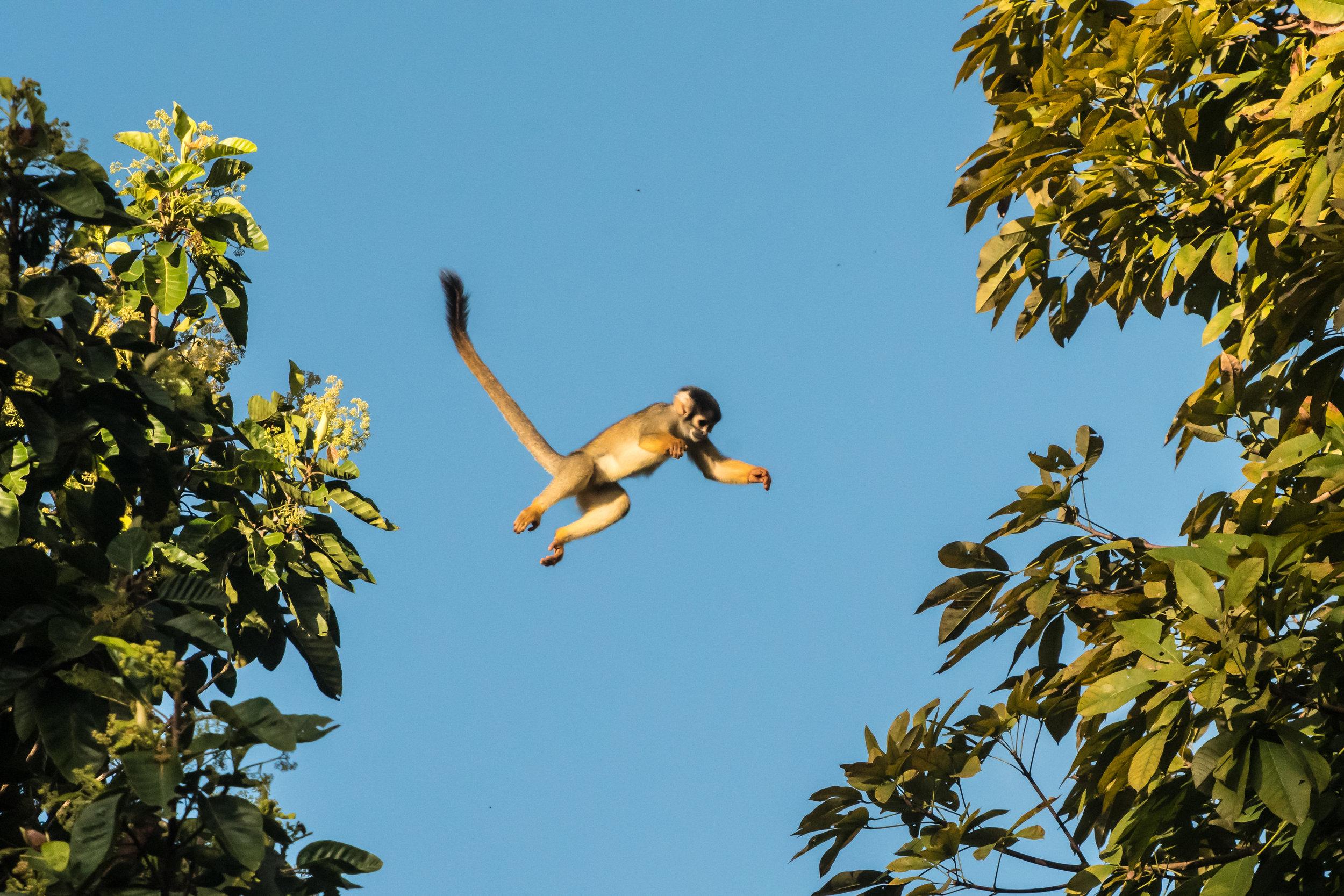 Saimiri boliviensis (Squrrle Monkey)