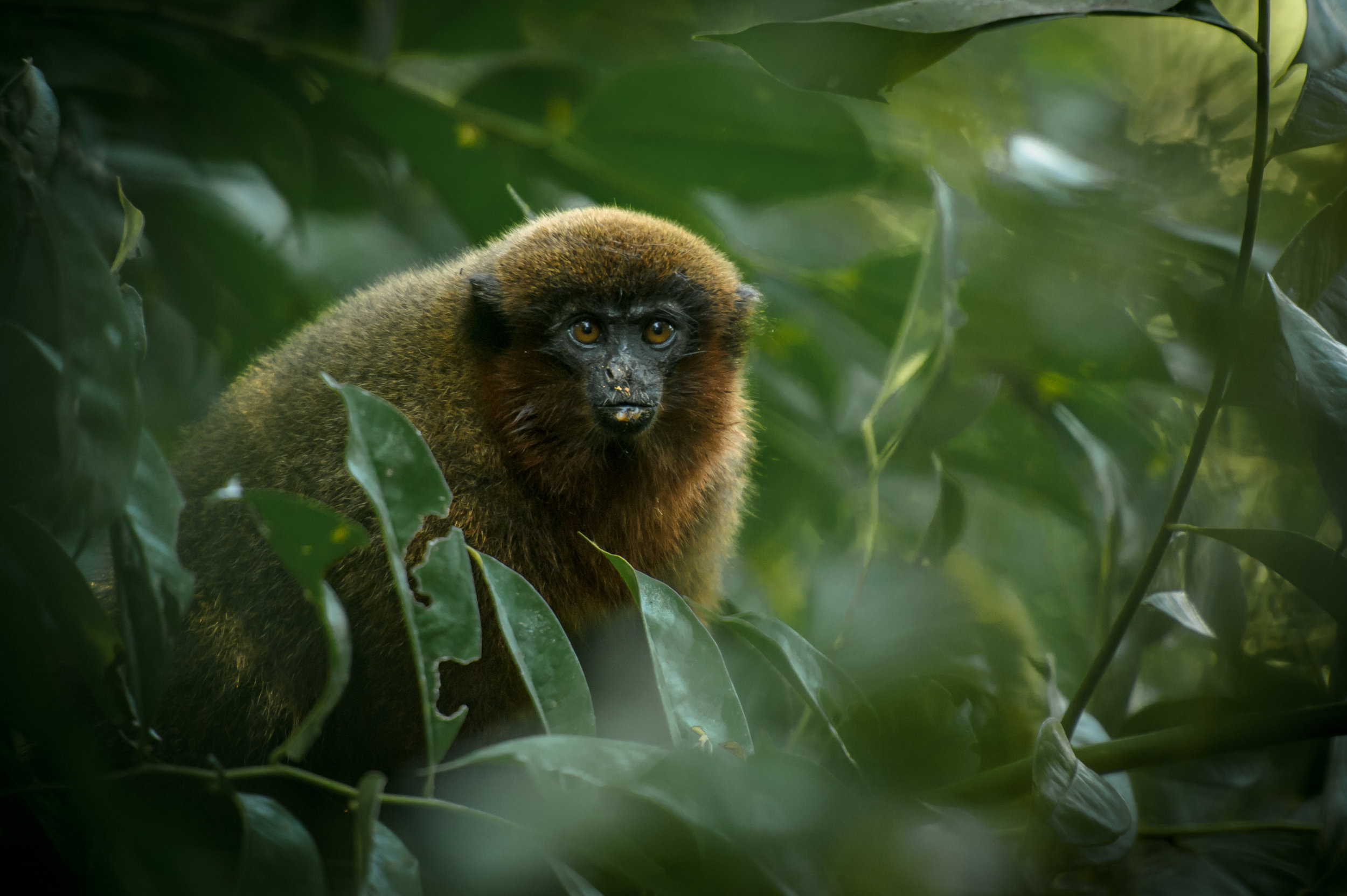 Callicebus brunneus  (Brown Titi Monkey)