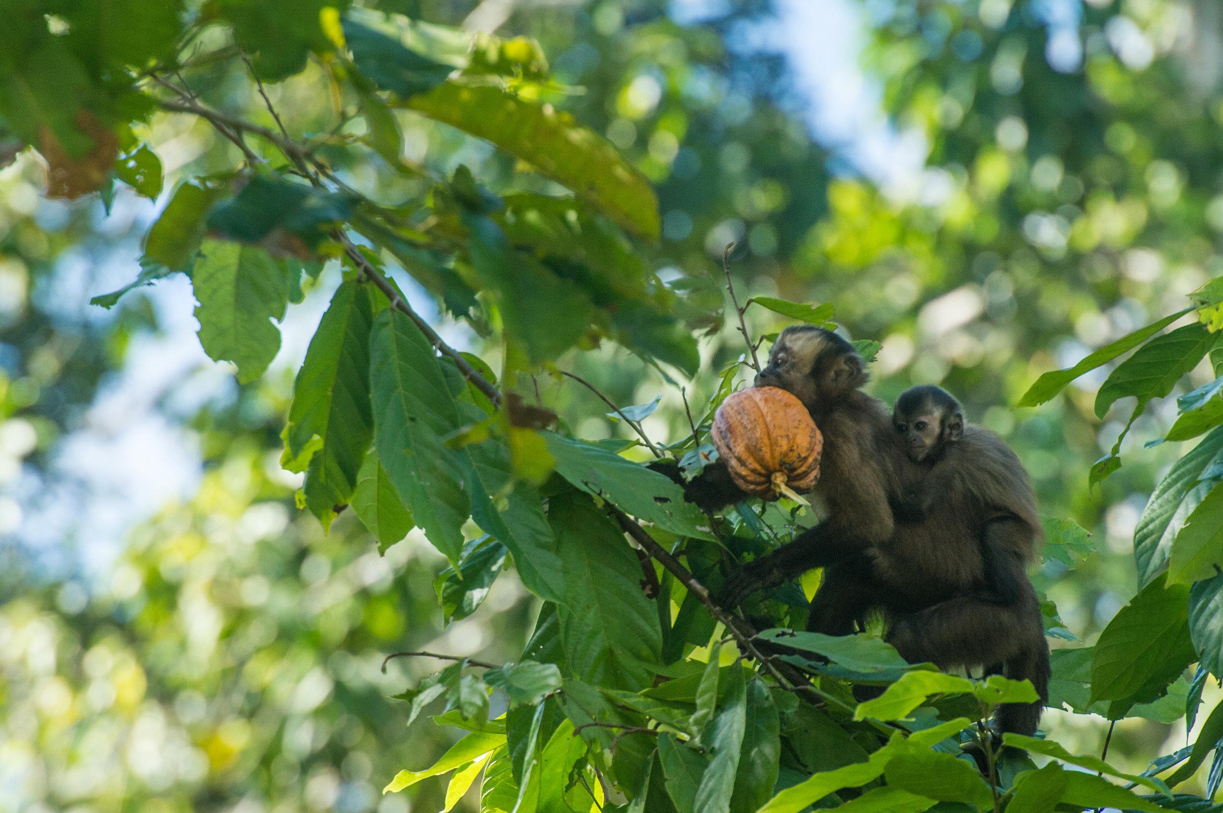Cebus apella (Brown Capuchin)