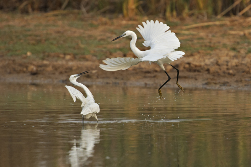 Lesser Egret stating claim on fishing space..jpg
