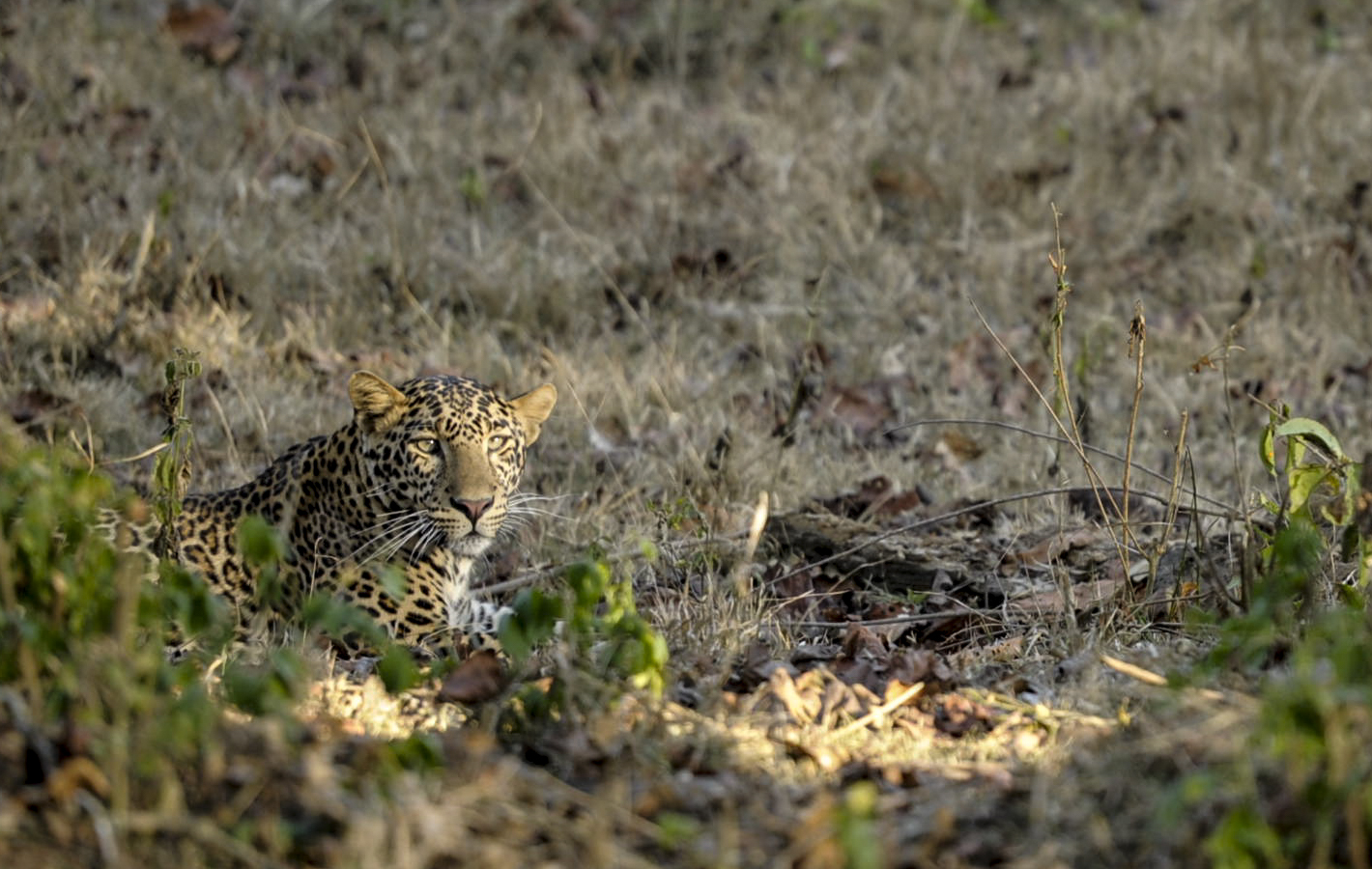 Indian leopard (Panthera pardus fusca)