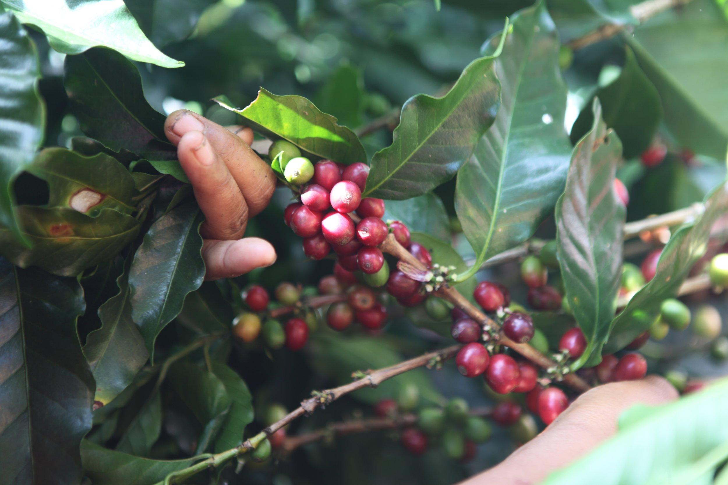coffee cherry.jpeg