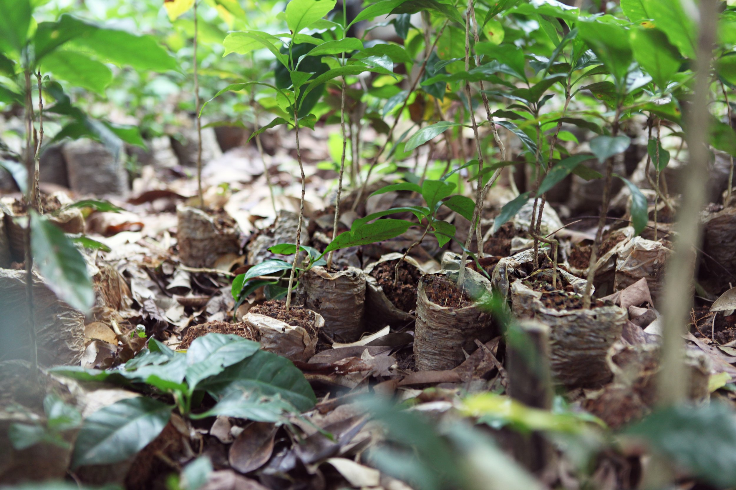 Coffee Seedling Cultivation