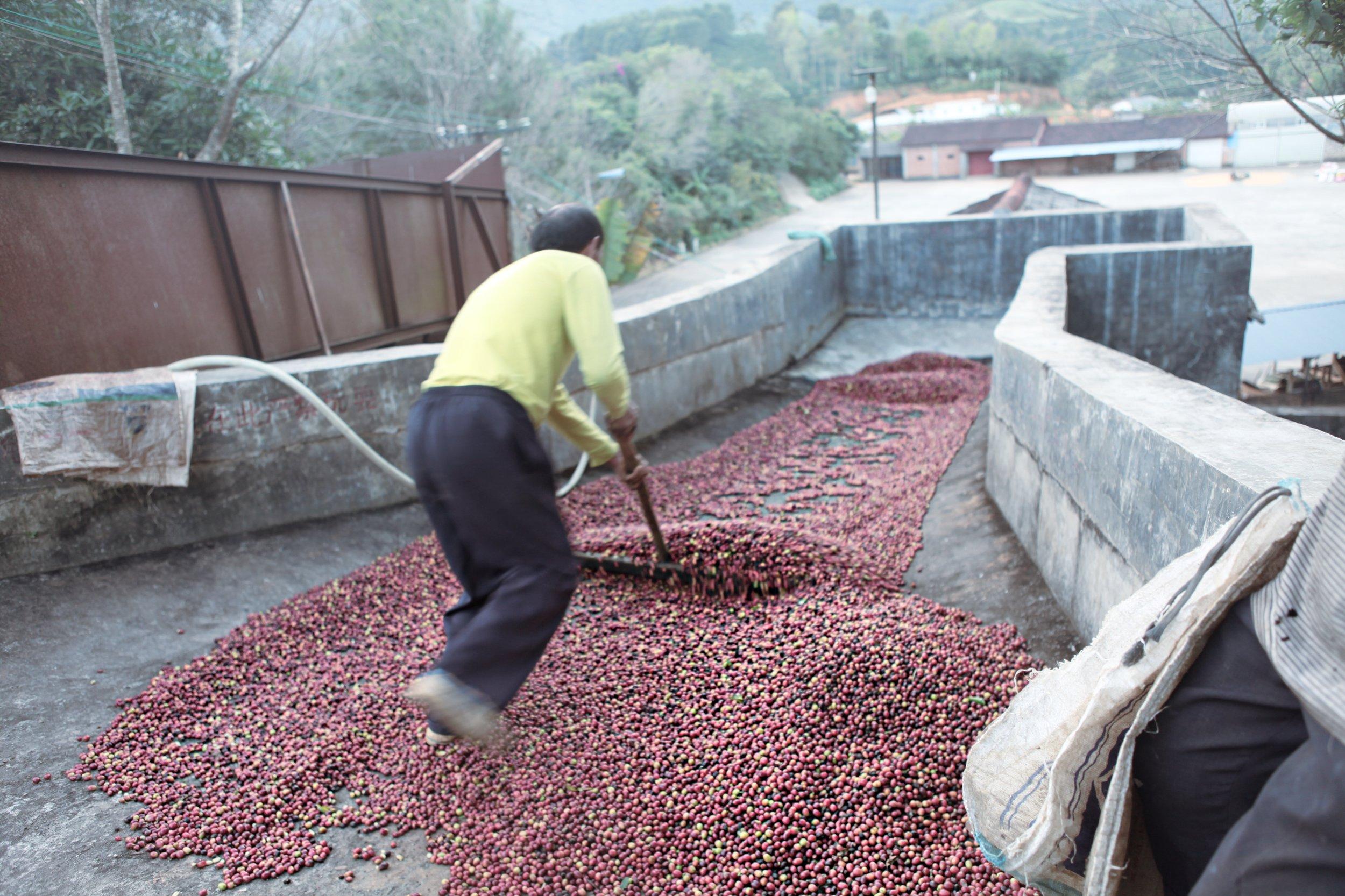 unload the coffee cherries