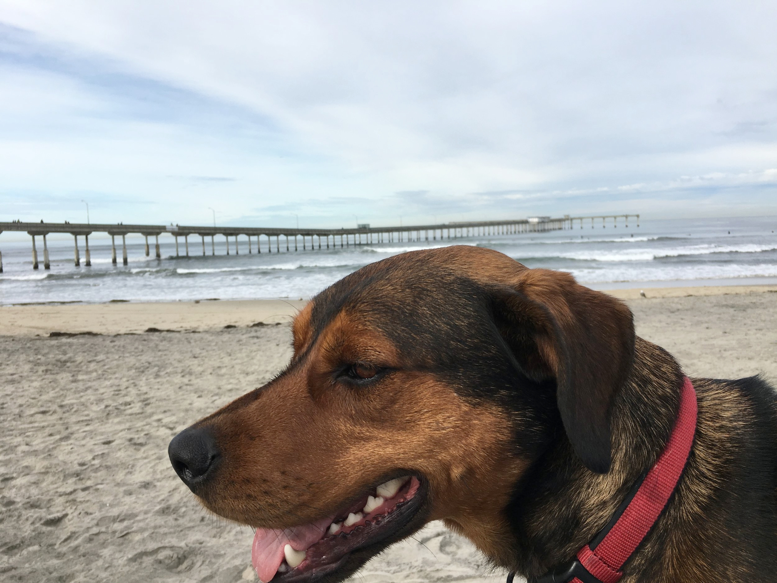 Fun Fact: - Autumn loves dogs and her dog Frasier loves exploring! Do not be surprised if you see the two of them together cruising around Ocean Beach on a beautiful Sunny San Diego day.Photo of Frasier in front of the Ocean Beach Pier, 2017