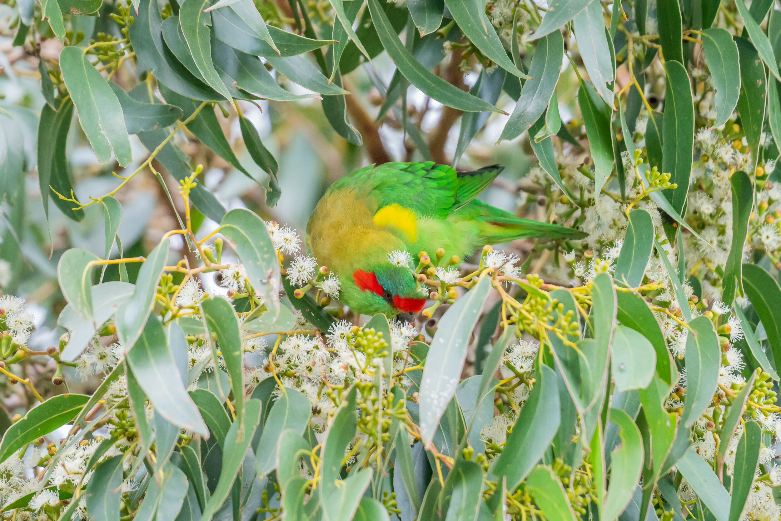 Musk Lorikeet,  Glossopsitta concinna . Only found in South Eastern Australia. They eat mainly pollen and nectar from eucalypts using their specialised brush-tipped tongues. Declines in populations have occurred due to the clearance of eucalypts for agriculture, but they benefit from plantings in towns.