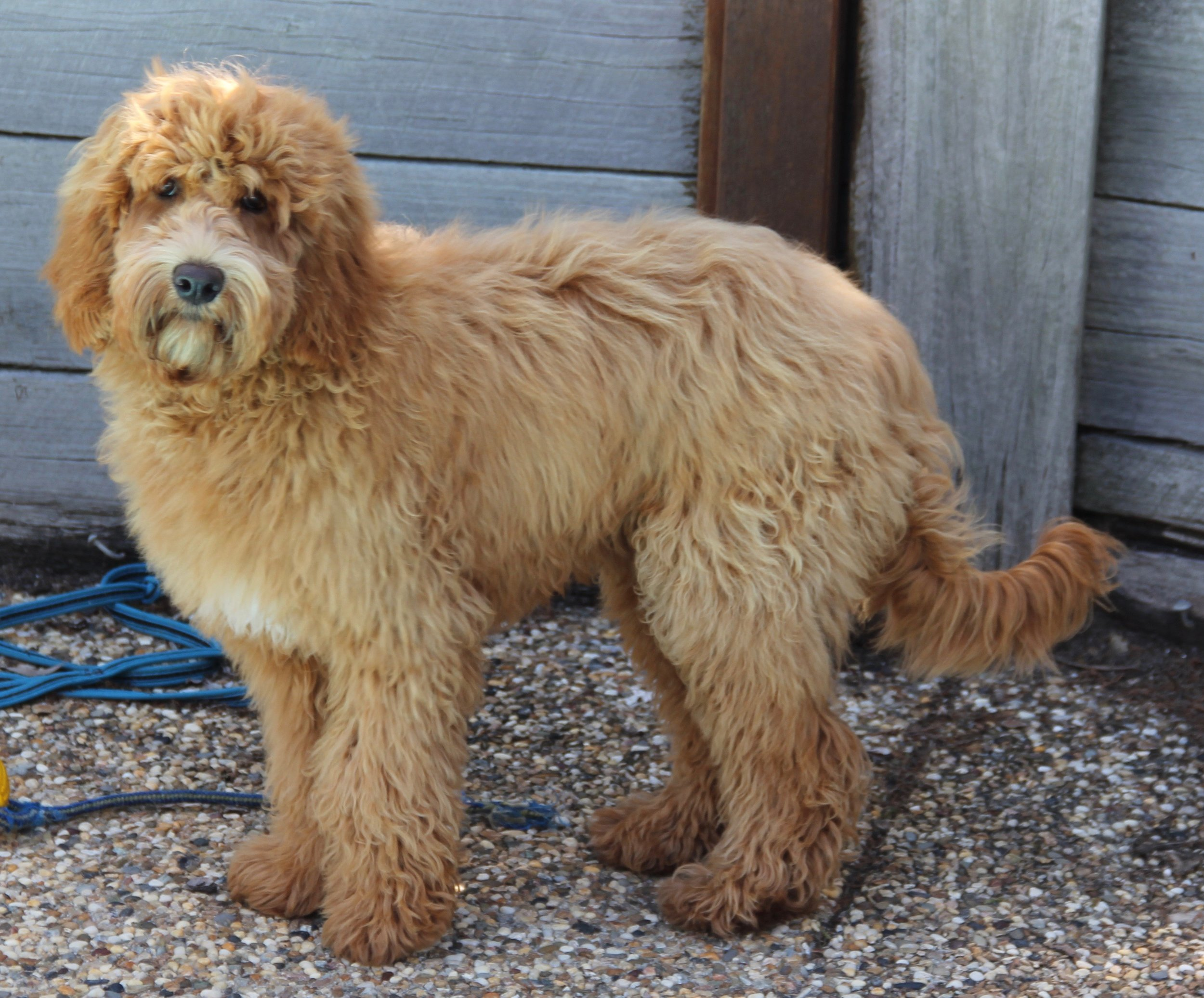 The Australian Labradoodle - The World Australian Labradoodle Association (WALA) website provides a lot of information about the Australian Labradoodle and I highly recommend that you visit this site as part of your research into this highly intelligent loving breed.