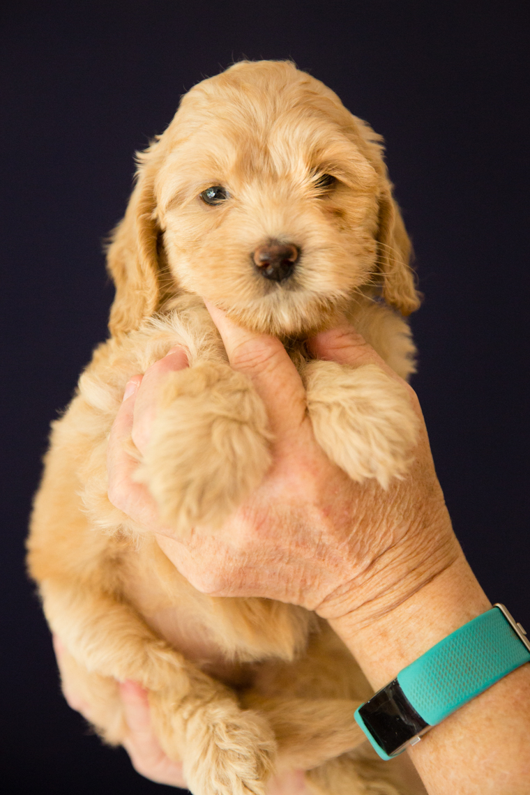 Caralee-Shelby_Blond-Girl-Caralee-Australian-Labradoodles__24A6263.jpg