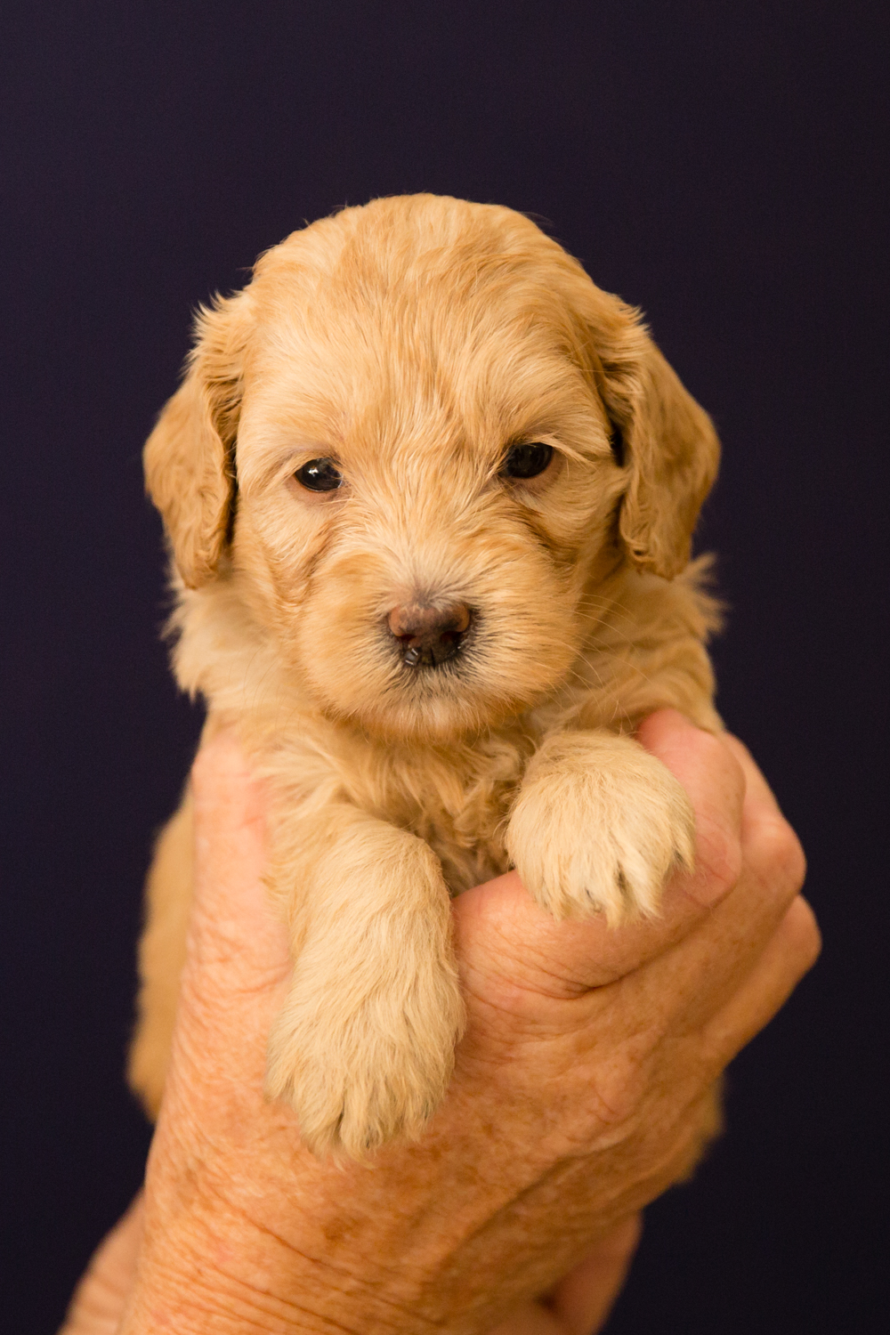 Caralee-Shelby-Caralee-Australian-Labradoodles__24A6015.jpg