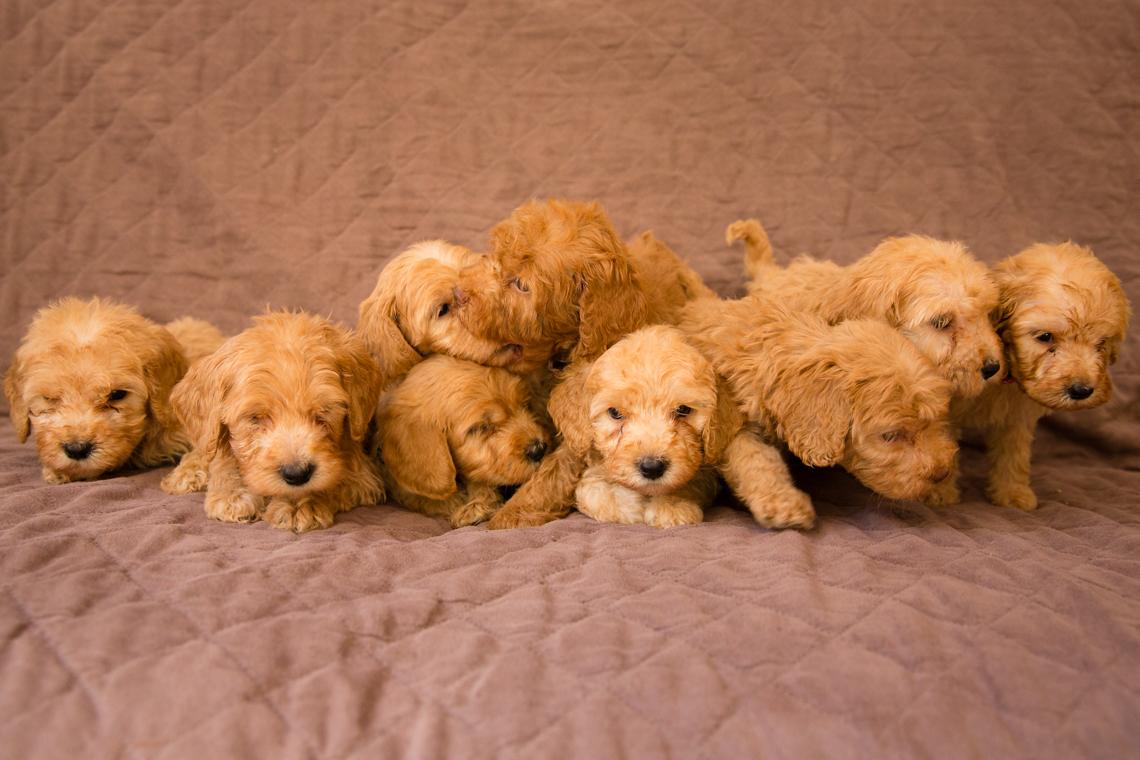 Caralee-Mae's-puppies_01.jpg
