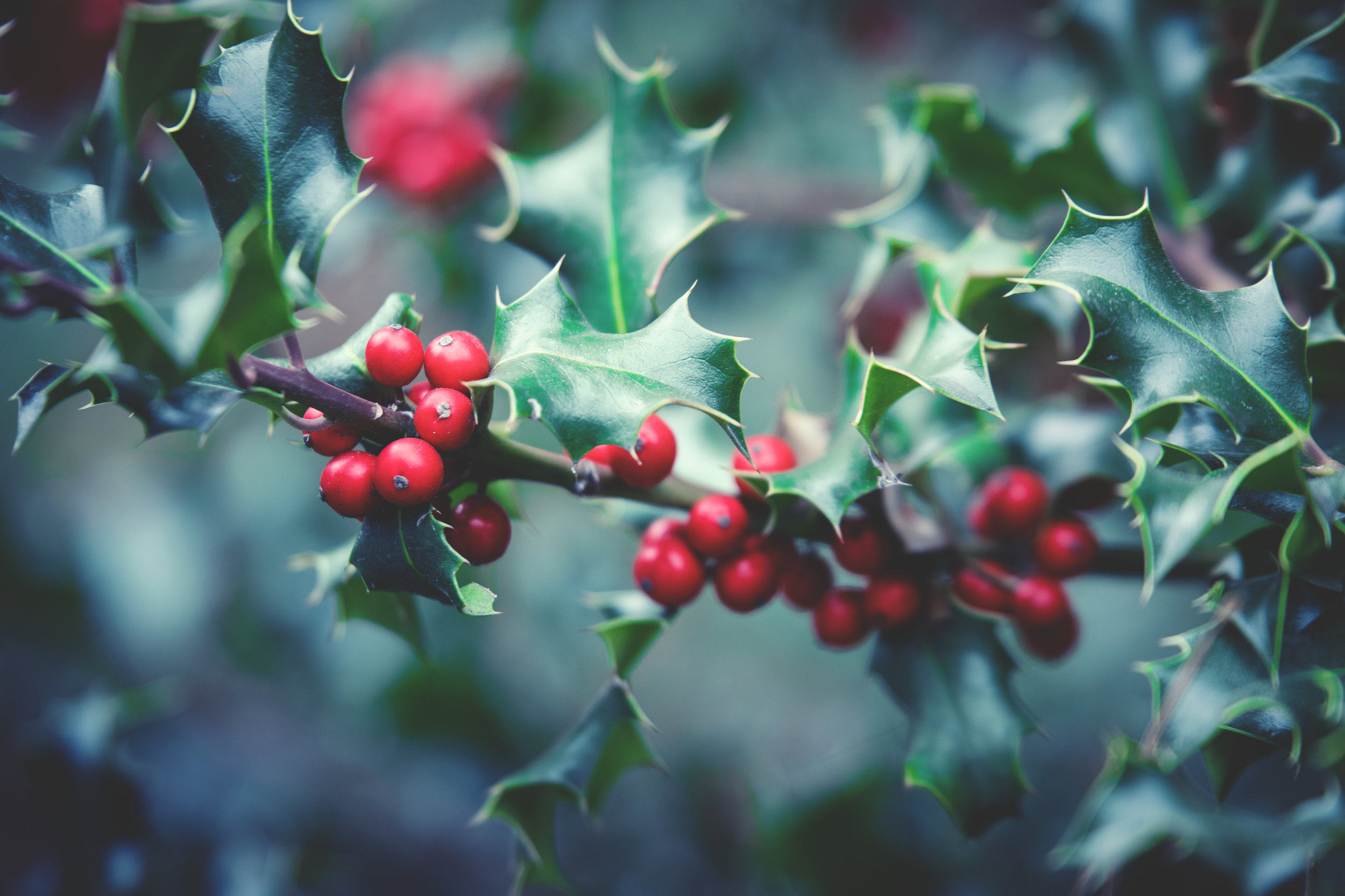 The Holly bears a berry as bright as any rose... - - The Rural Travel Guide