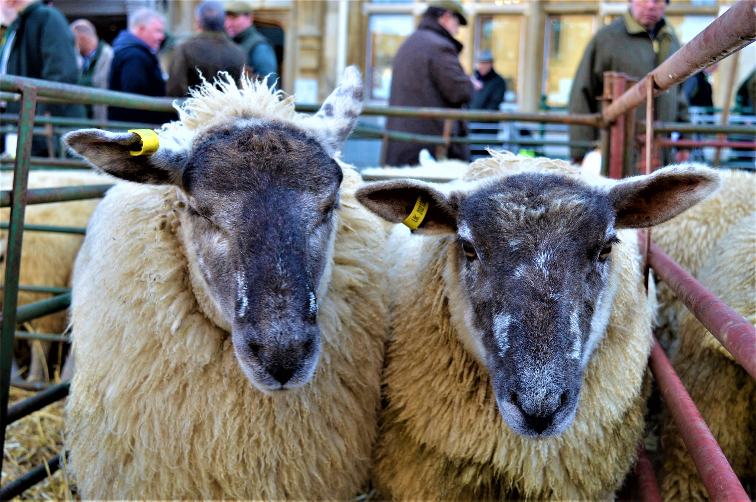 250 sheep are entered this year - - The Rural Travel Guide