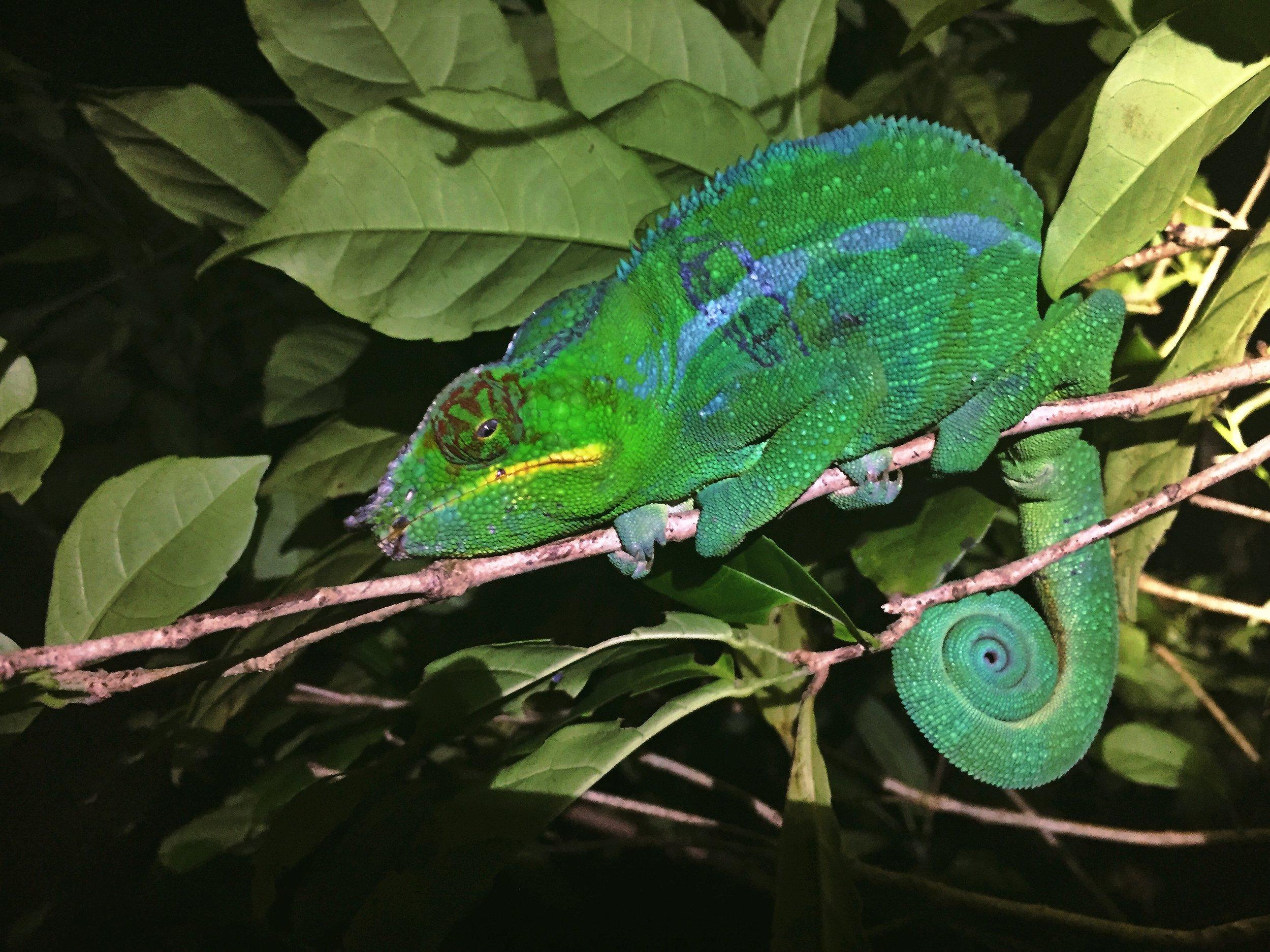 A male panther Chameleon ( Furcifer pardalis ) on Nosy Komba