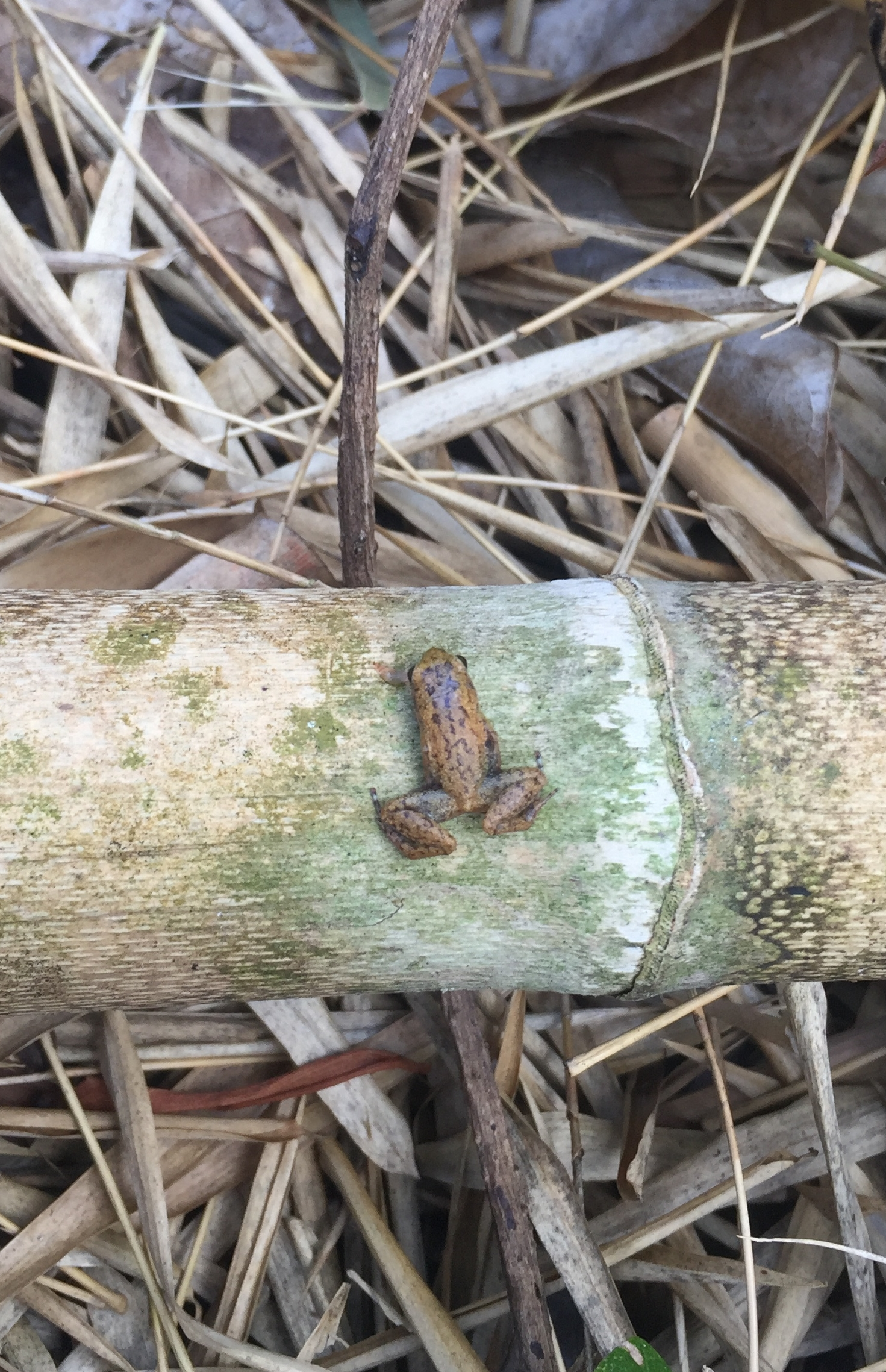 Madagascar stump-toed frog ( Stumpffia psologlossa ) playing dead on a piece of bamboo.