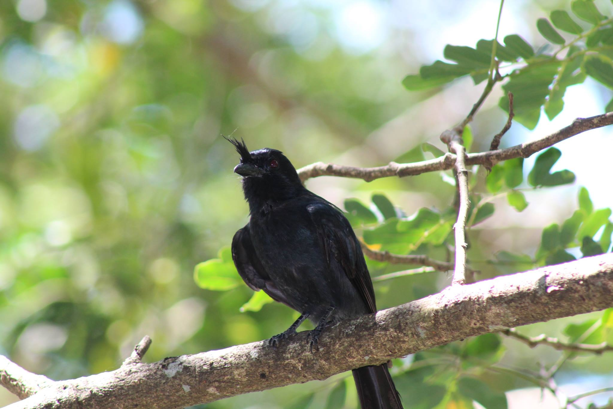 Crested Drongo watching for prey! Photo credit Nathan Dunn