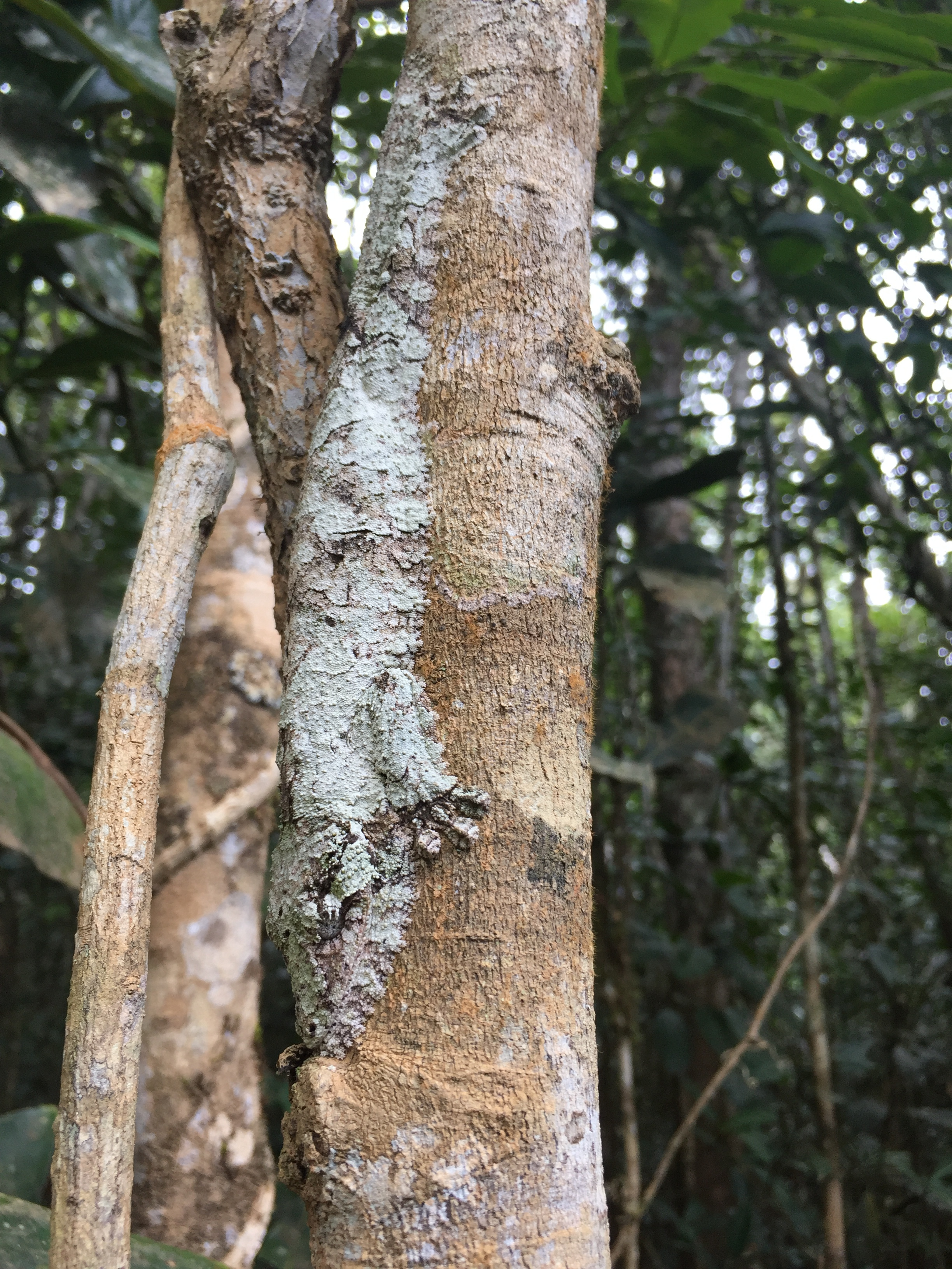 The Mossy leaf-tailed gecko ( Uroplatus sikorae )