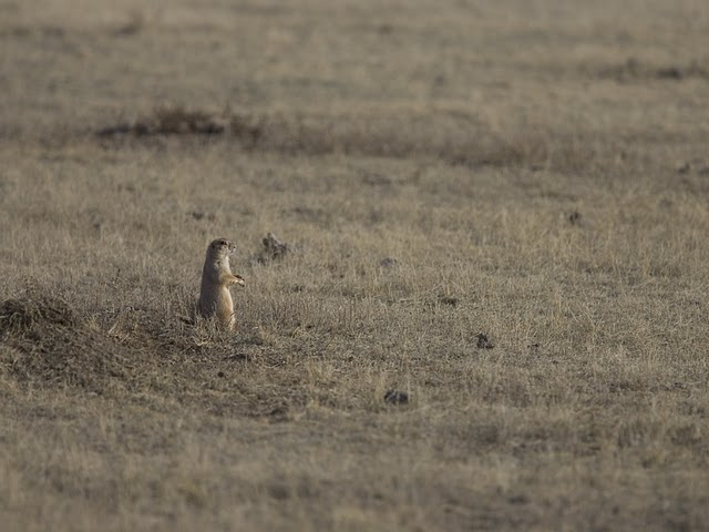 A prairie dog, on high alert for a black-footed ferret! Photo Credit: Ryan Hagerty/ USFWS