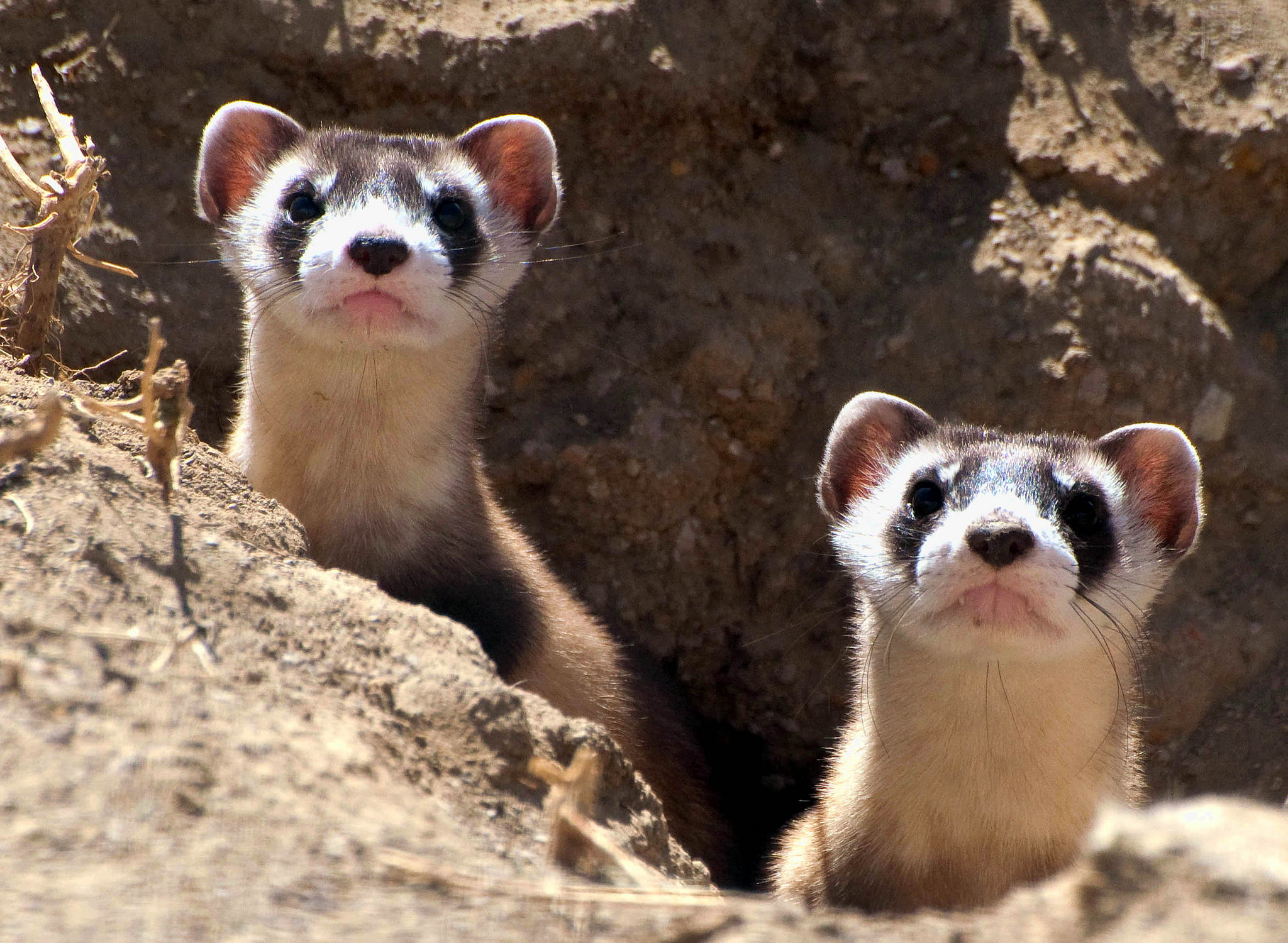 Some inquisitive ferret kits poking their heads out from their burrows! Photo Credit: Kimberly Fraser / USFWS