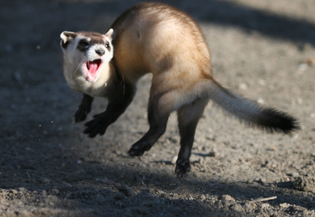 A black-footed ferret leaping into the air as a part of a ferret war dance! Photo Credit: J. Michael Lockhart / USFWS