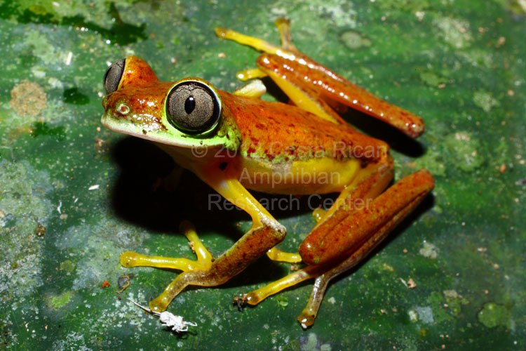A gorgeous little lemur leaf frog taking on its active nocturnal colouration. Photo Credit: Costa Rican Amphibian Research Centre