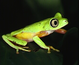 The daytime colouration of the lemur leaf frog. Even their irises are different colours! Photo Credit: Project Lemur Frog