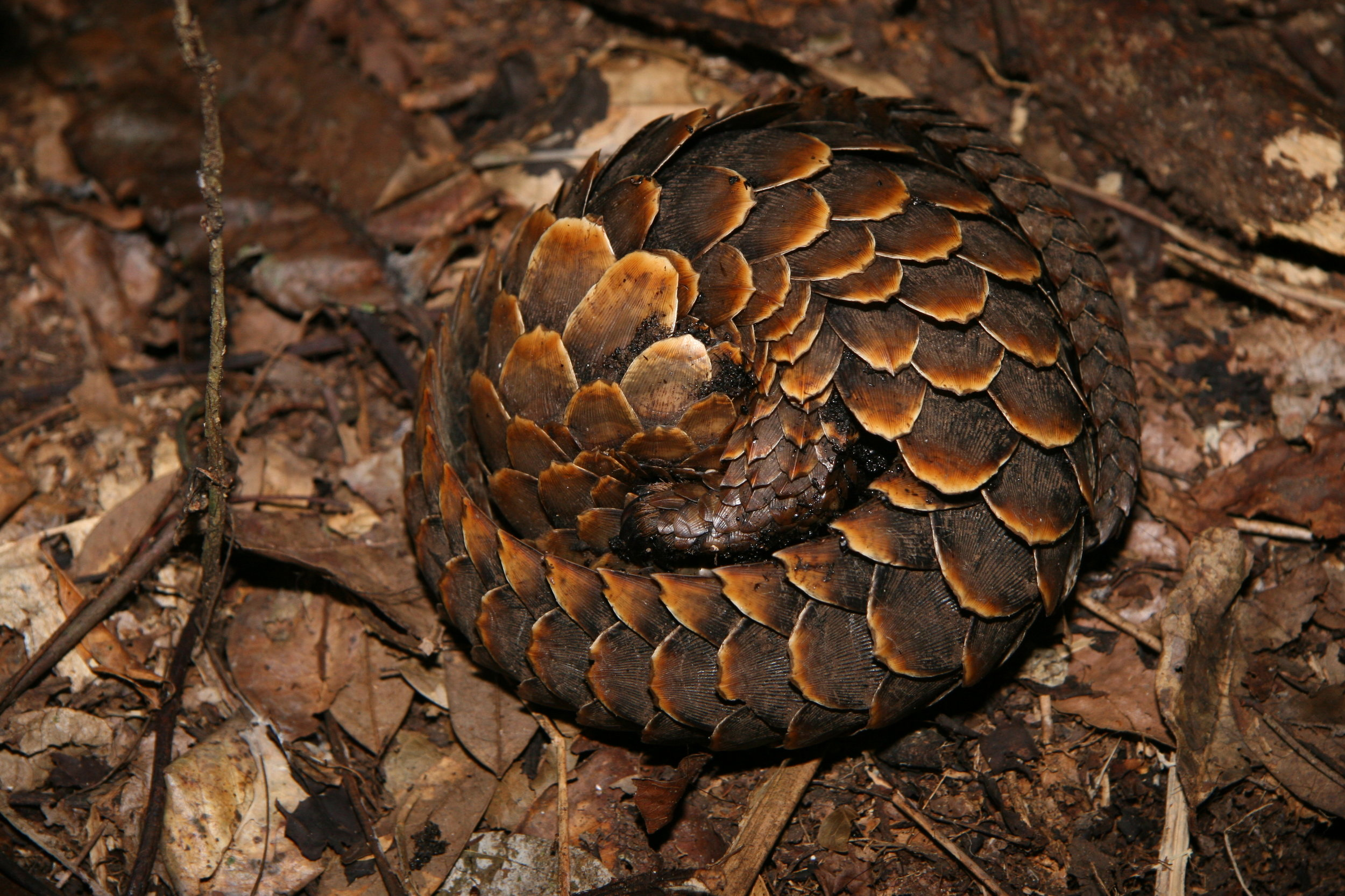 A curled up Long-tailed pangolin ( Phantaginus tetradactyla ). Aren't they just the cutest!