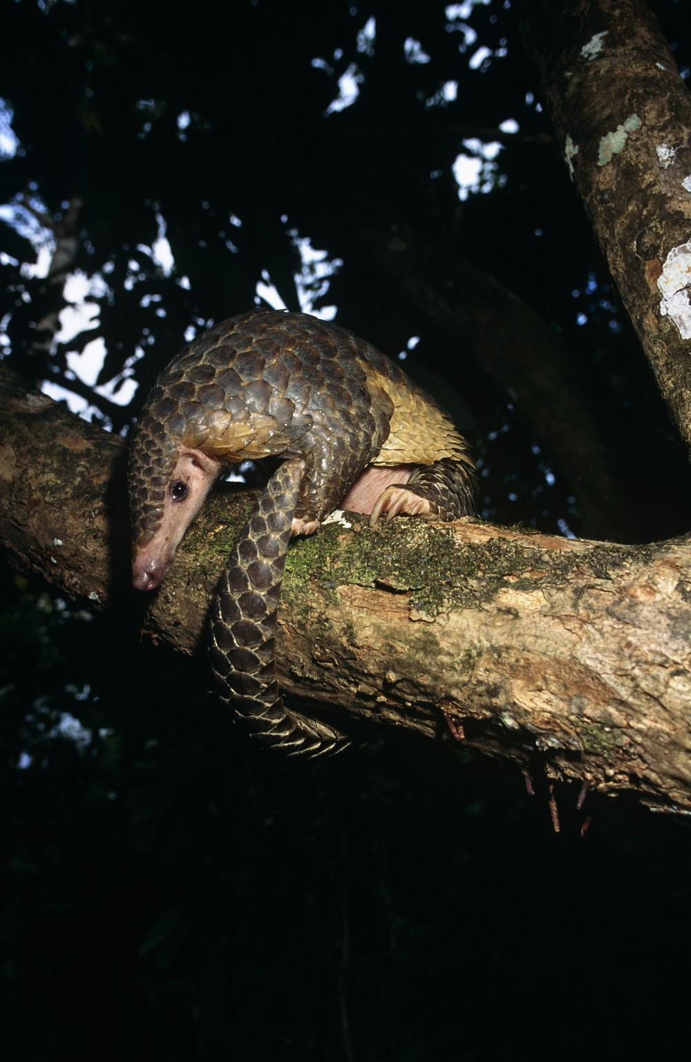 Chinese pangolin ( Manis pentadactyla ) showing off it's prehensile tail © Michael Pitts