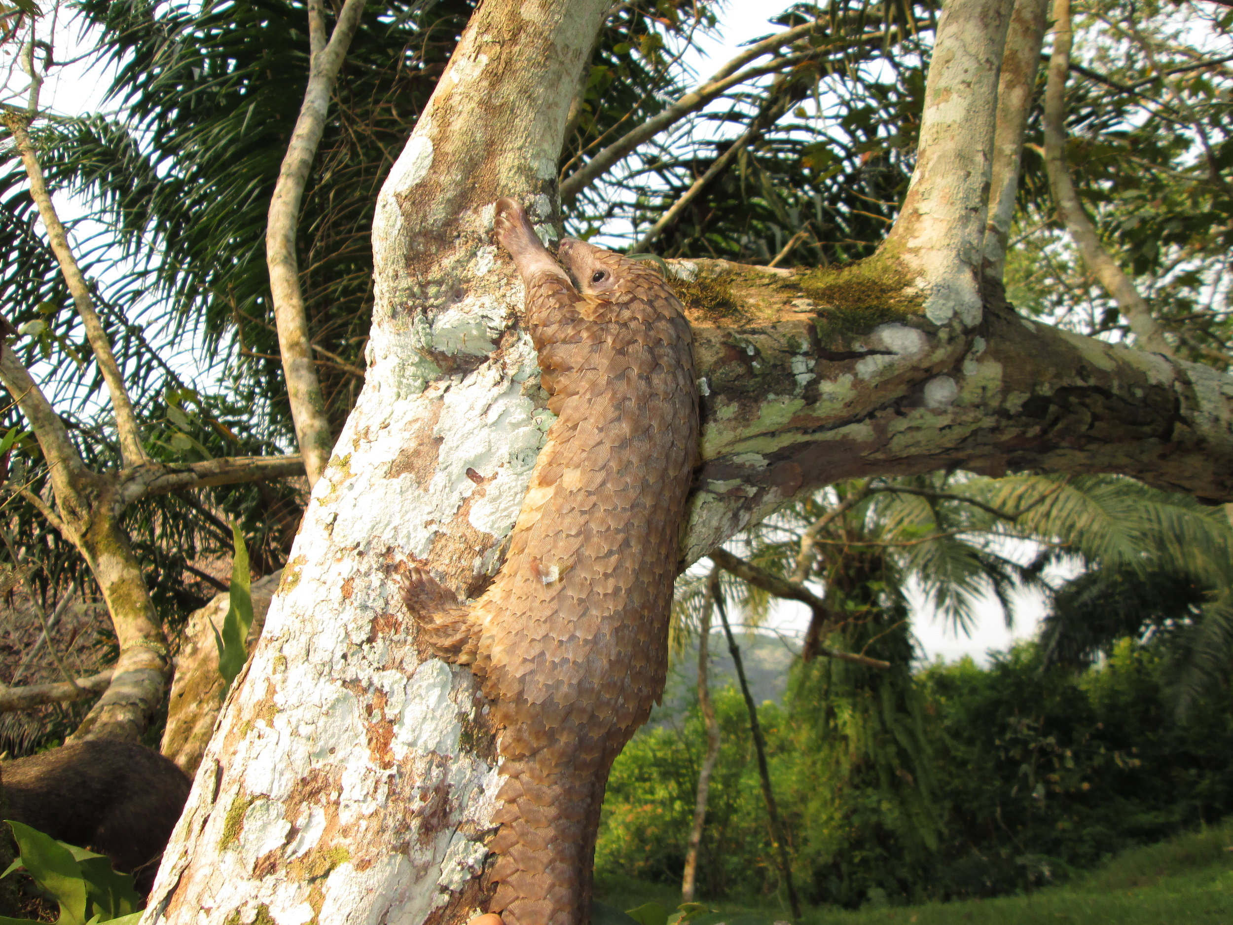 A tree pangolin ( Phataginus tricuspis ) exhibiting their semi-arboreal lifestyle! Photo: © Rod Cassidy