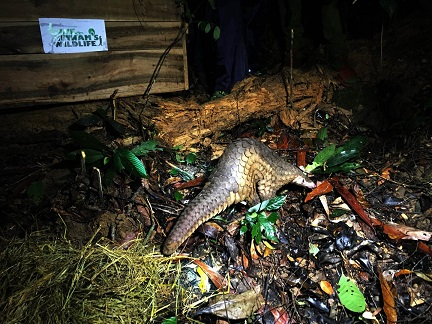 A Sunda pangolin being released back into the wild thanks to the team at SVW! Photo: SVW