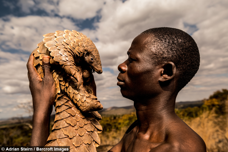 The link between the Pangolin Men and their charges. This photo is one of a number from Adrien Steirn's 'Pangolin Men' project. Photo from the  Tikki Hywood Trust