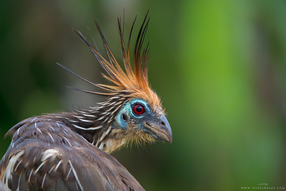 'Make sure you get my good side!' A portrait shot of the unique Hoatzin. Photo Credit: Jess Findlay https://www.flickr.com/photos/jessfindlayphoto/16376437178/