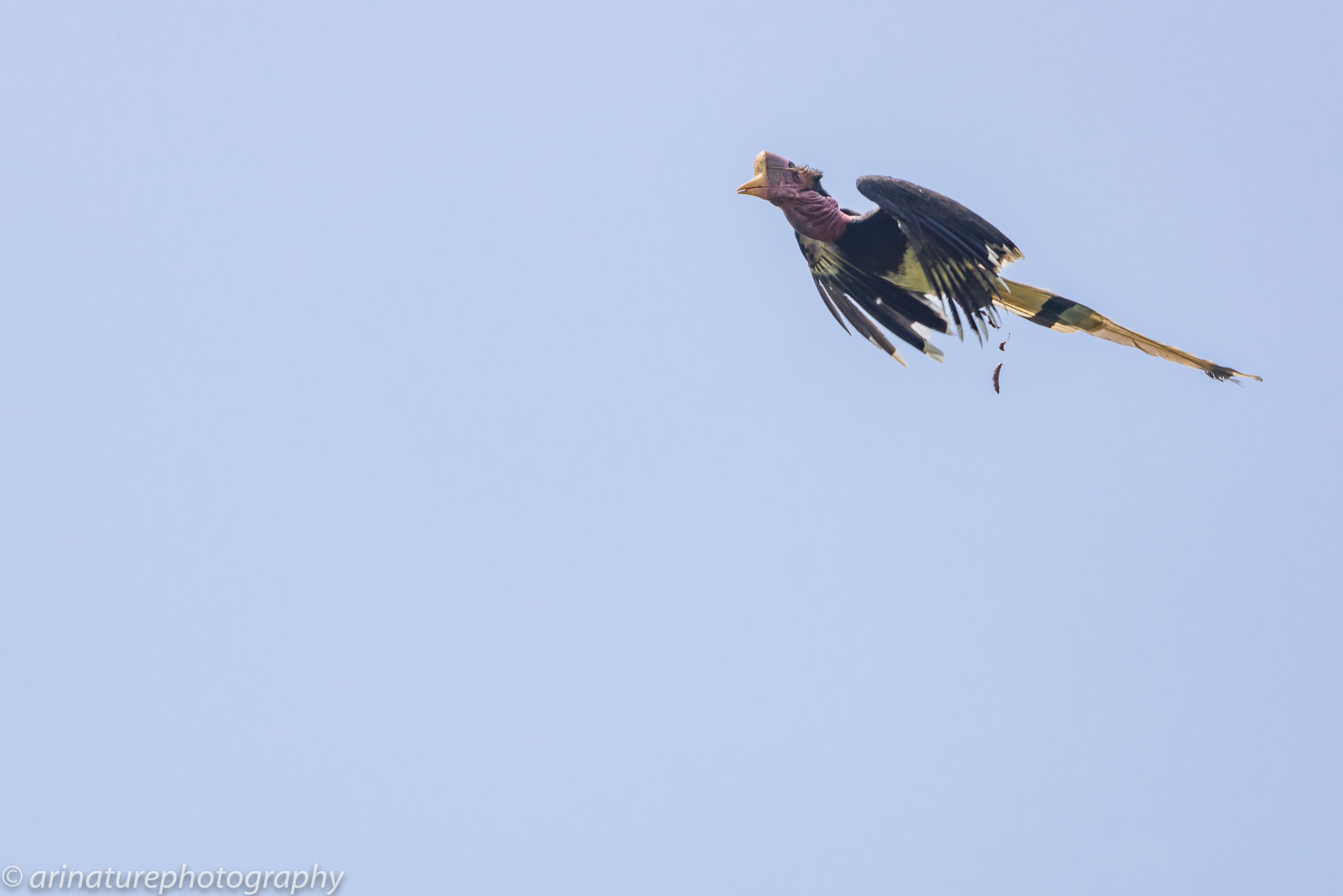 In flight and on the move! Check out how long his tail is! Photo by Muhammad Al Zahri.