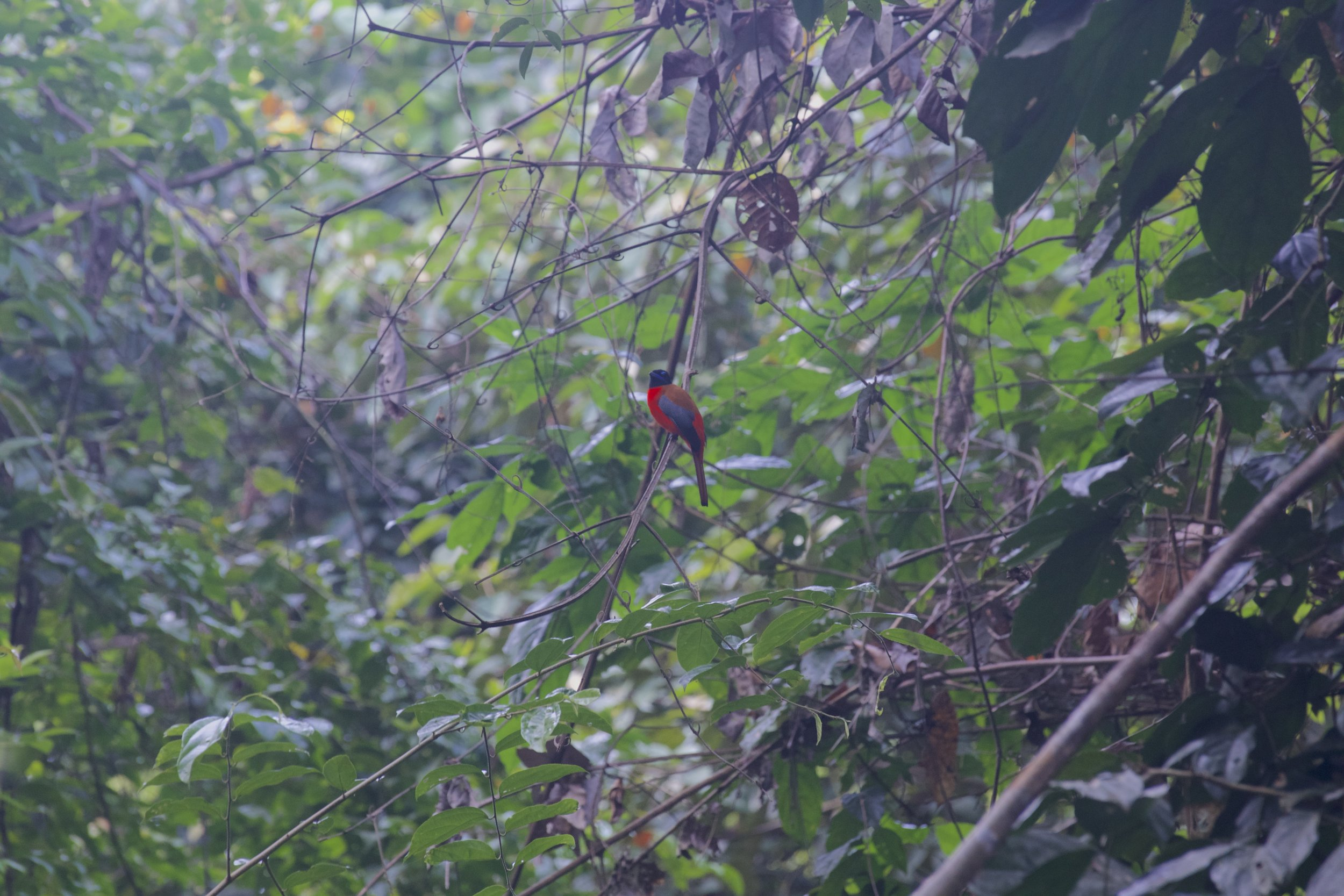 One of the many bird species found in Kenyir, the Scarlet Rumped Trogon