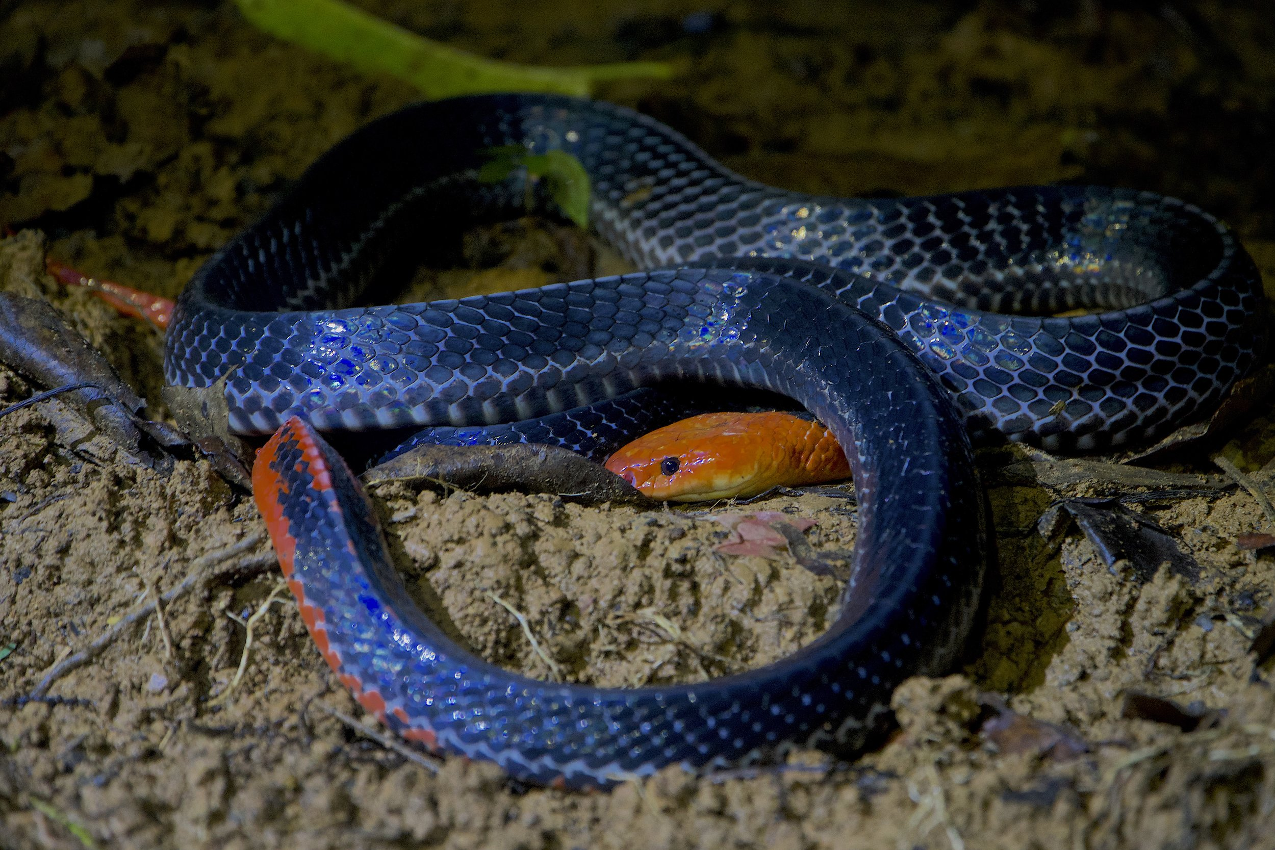 The gorgeous, but intimidating Red Headed Krait (Bungarus flaviceps)